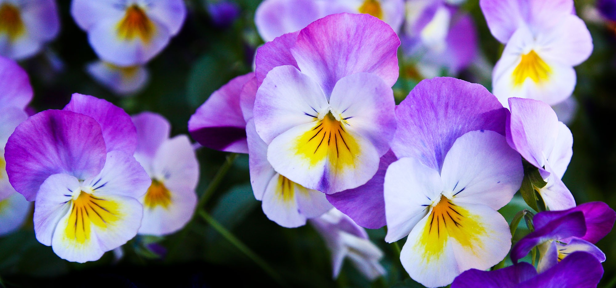 pansy-flowers-purple-nature.jpg (2000×937)