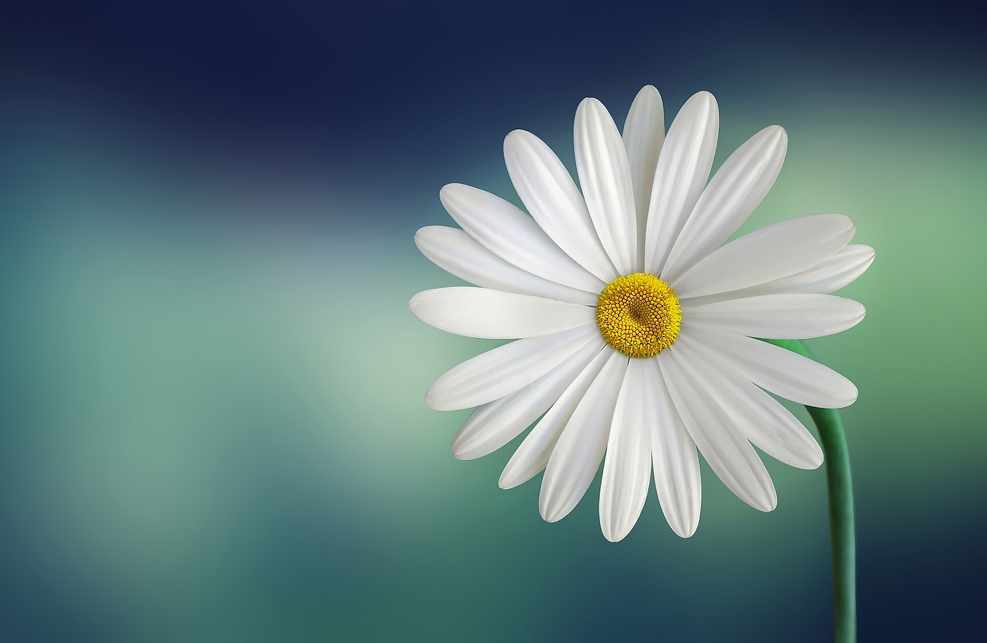 Hd wallpaper image - White And Yellow Flower With Green Stems