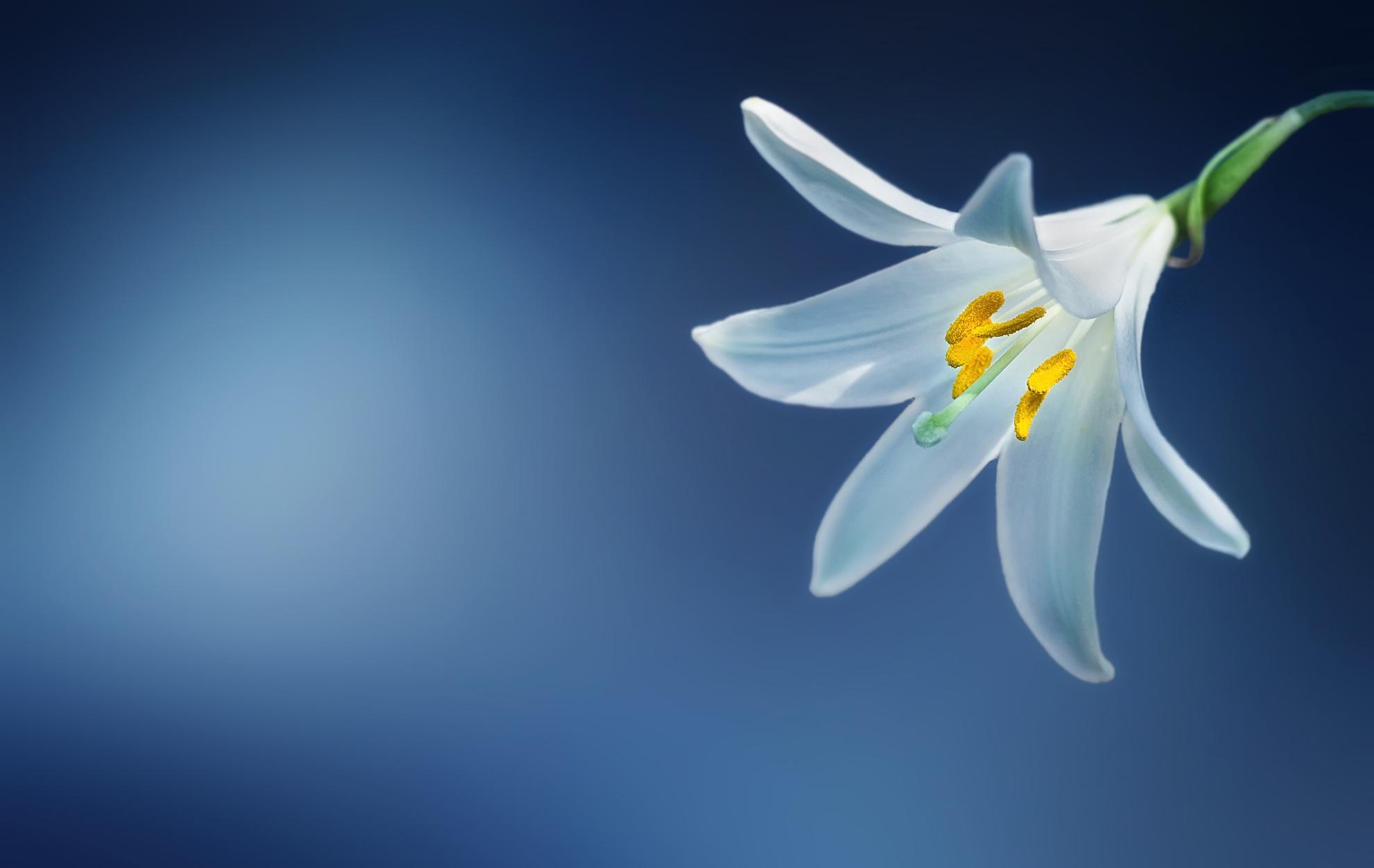 flower-lily-lilium-candidum-madonna-lily.jpg (1980×1251)