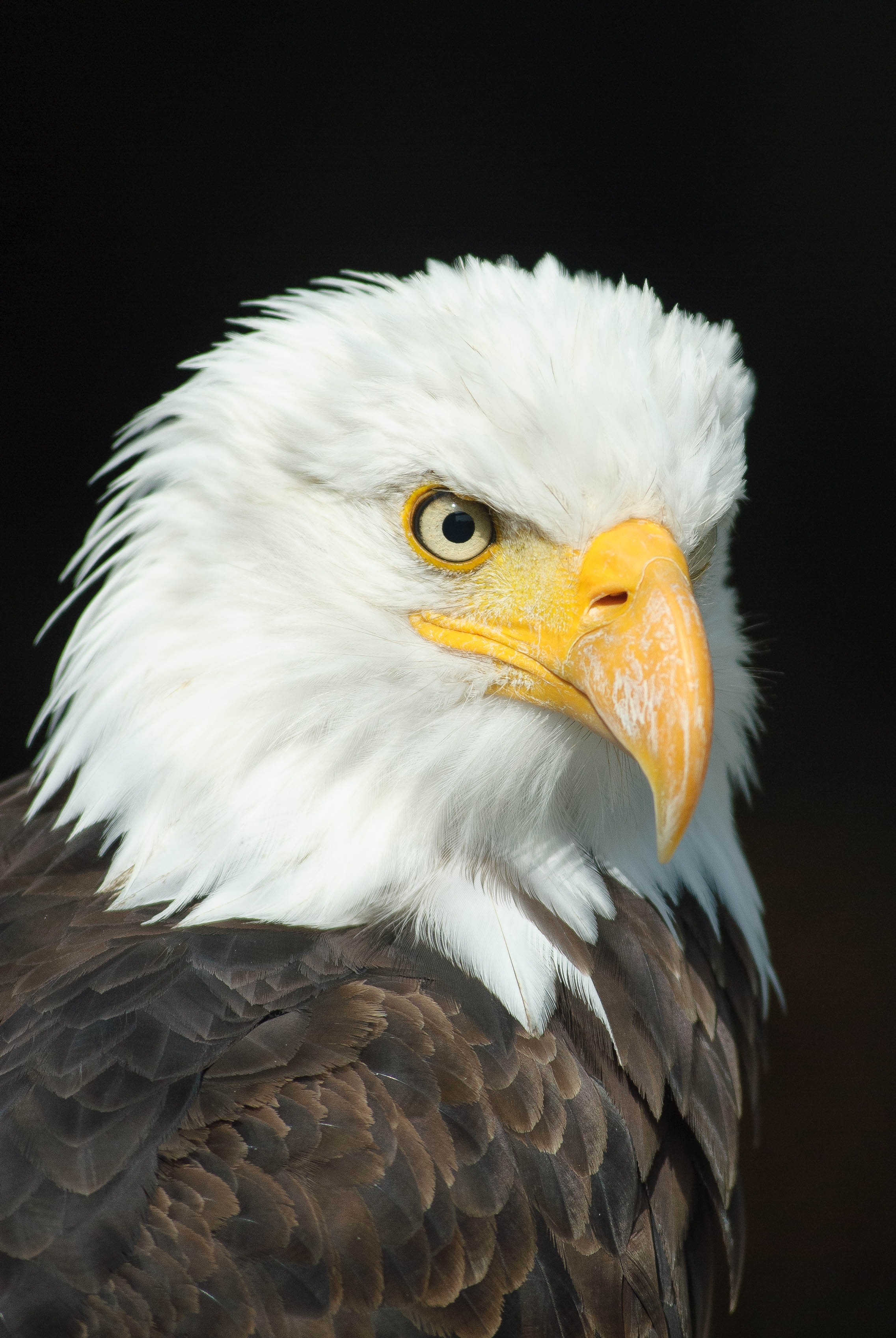 Eagle Images Pexels Free Stock Photos