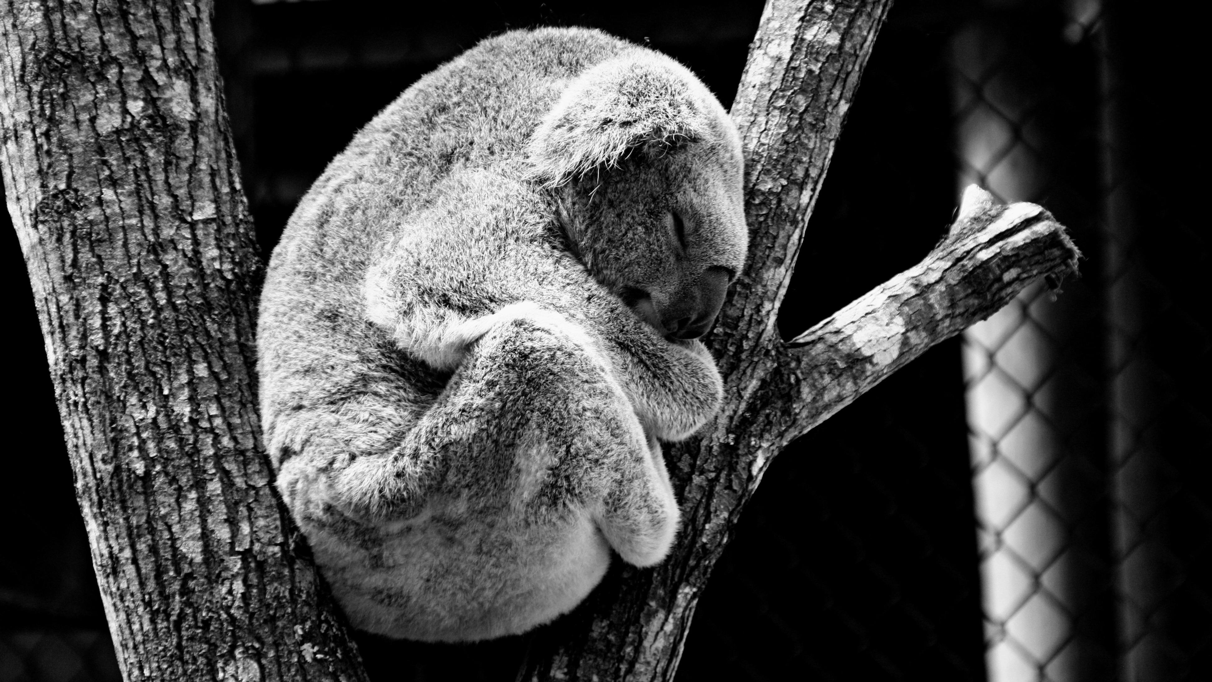 free stock photos of koala bear pexels