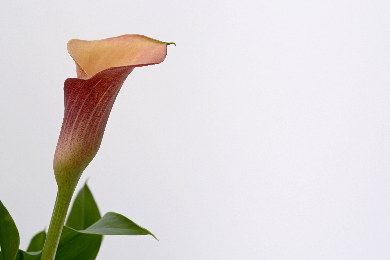 free stock photo of bloom blossom calla. Black Bedroom Furniture Sets. Home Design Ideas