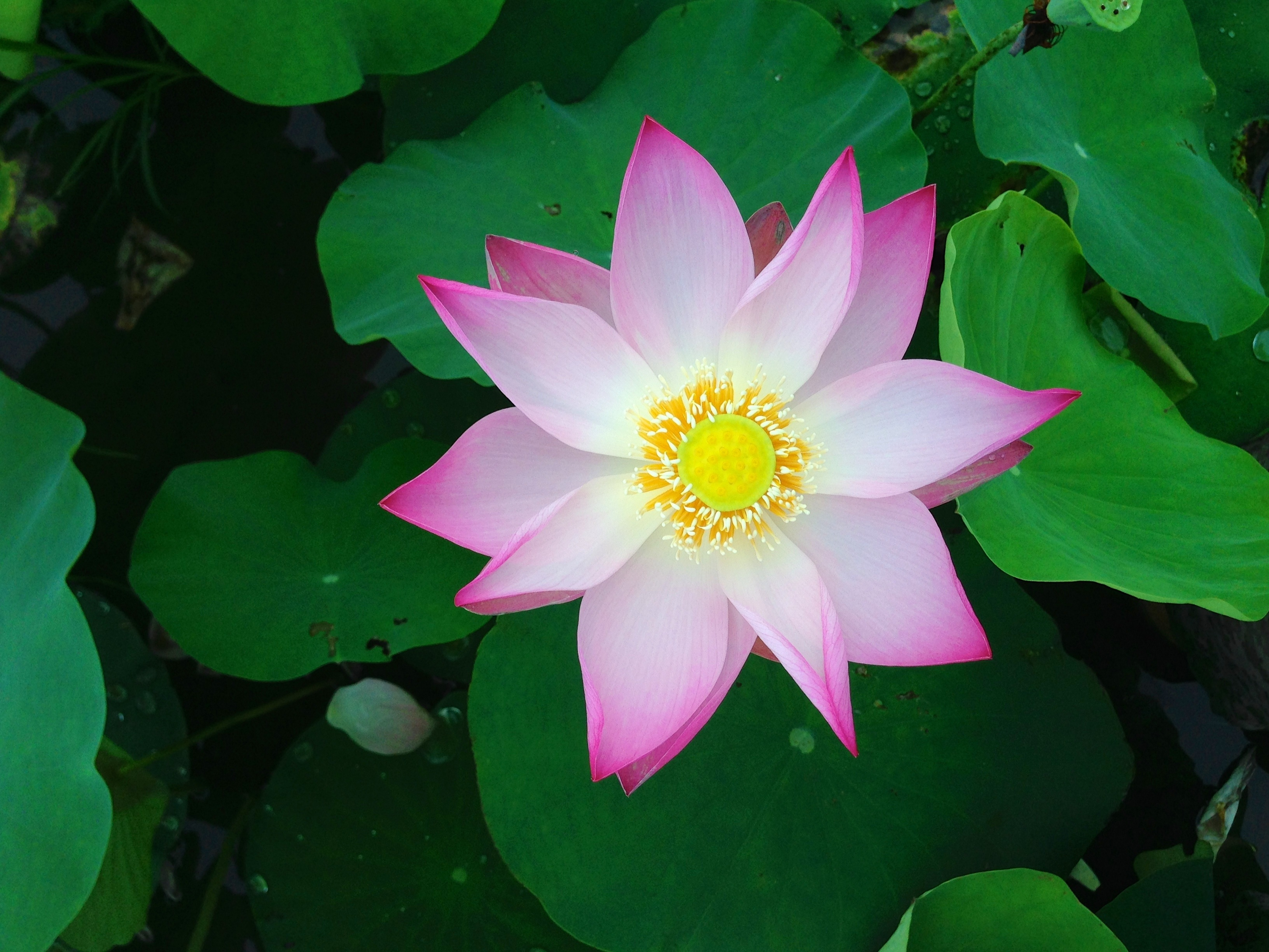 Lotus Flower Petal Template 25 Best Ideas About Flower Petal