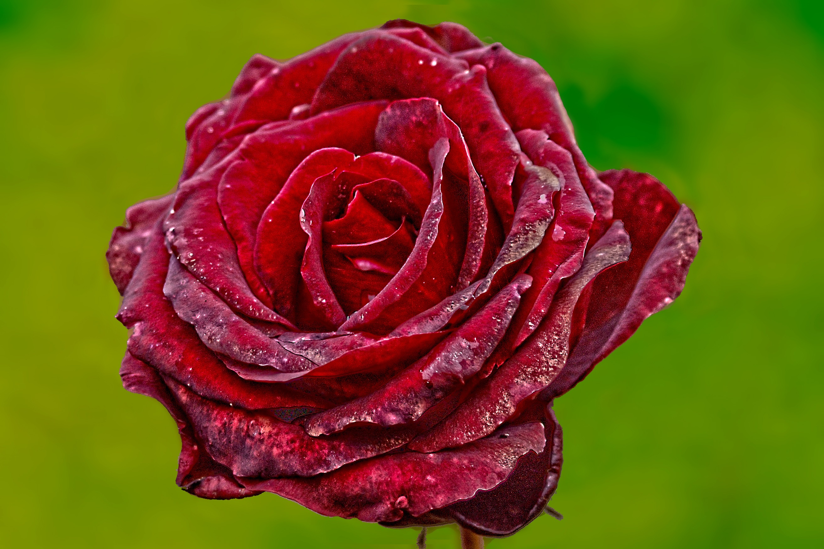 Red Rose With Green Background · Free Stock Photo