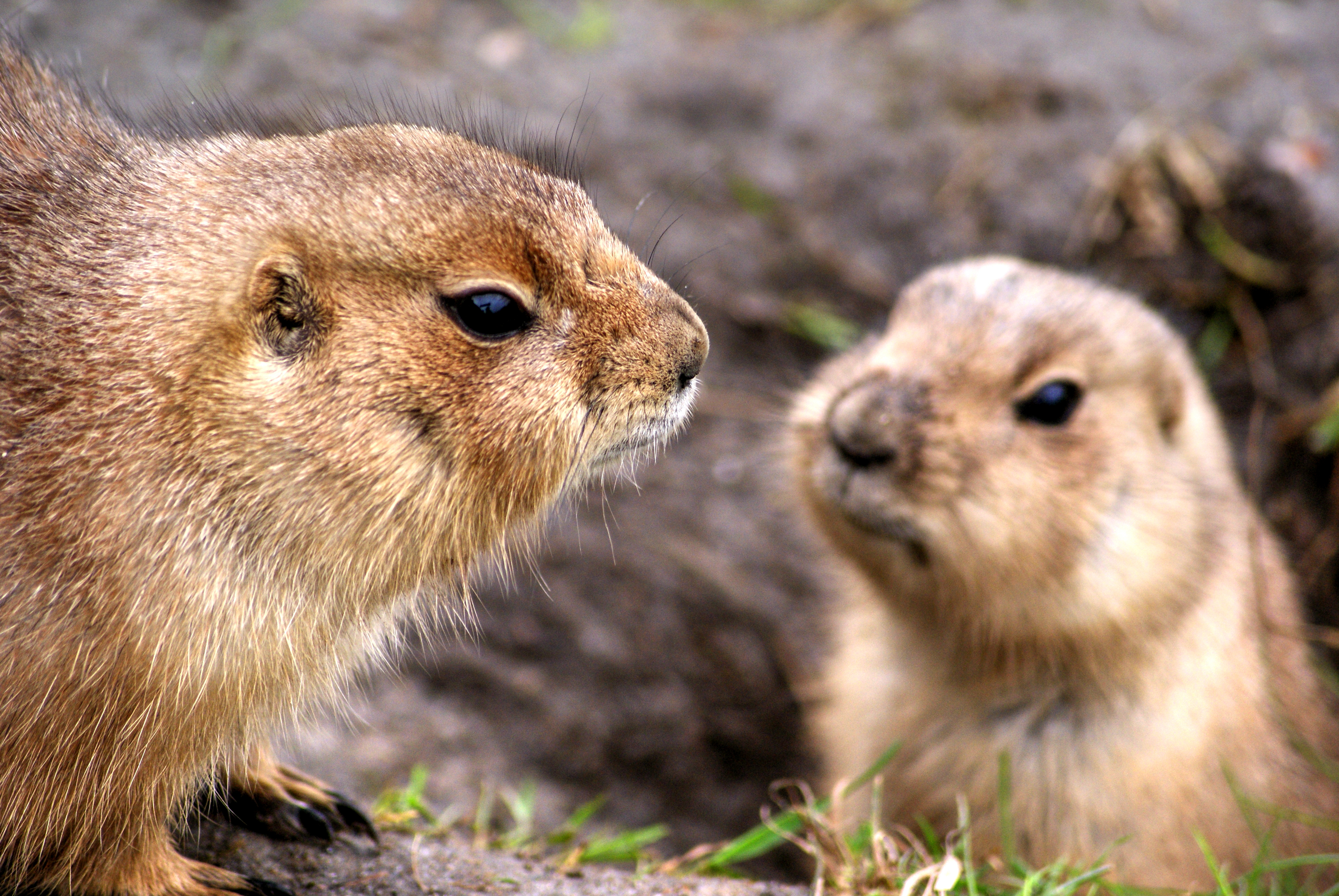 Animals Prairie Dogs Rodents 3773