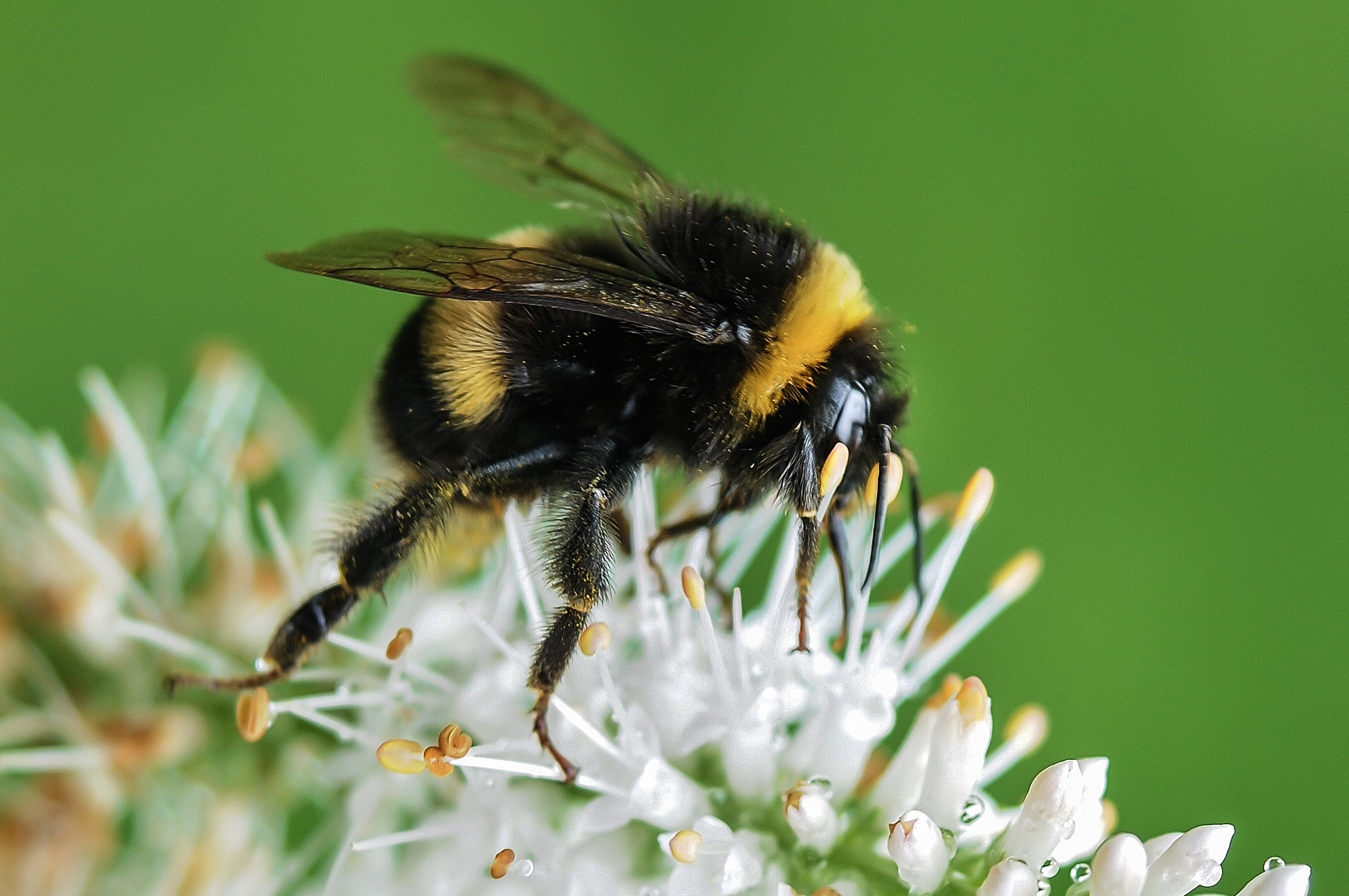 Free stock photo of bee bumblebee insect