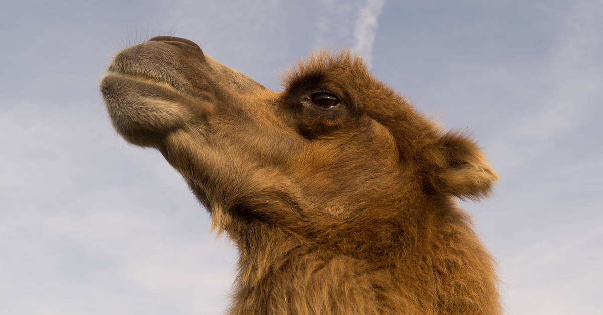 Free Stock Photo Of Africa Animal Camel