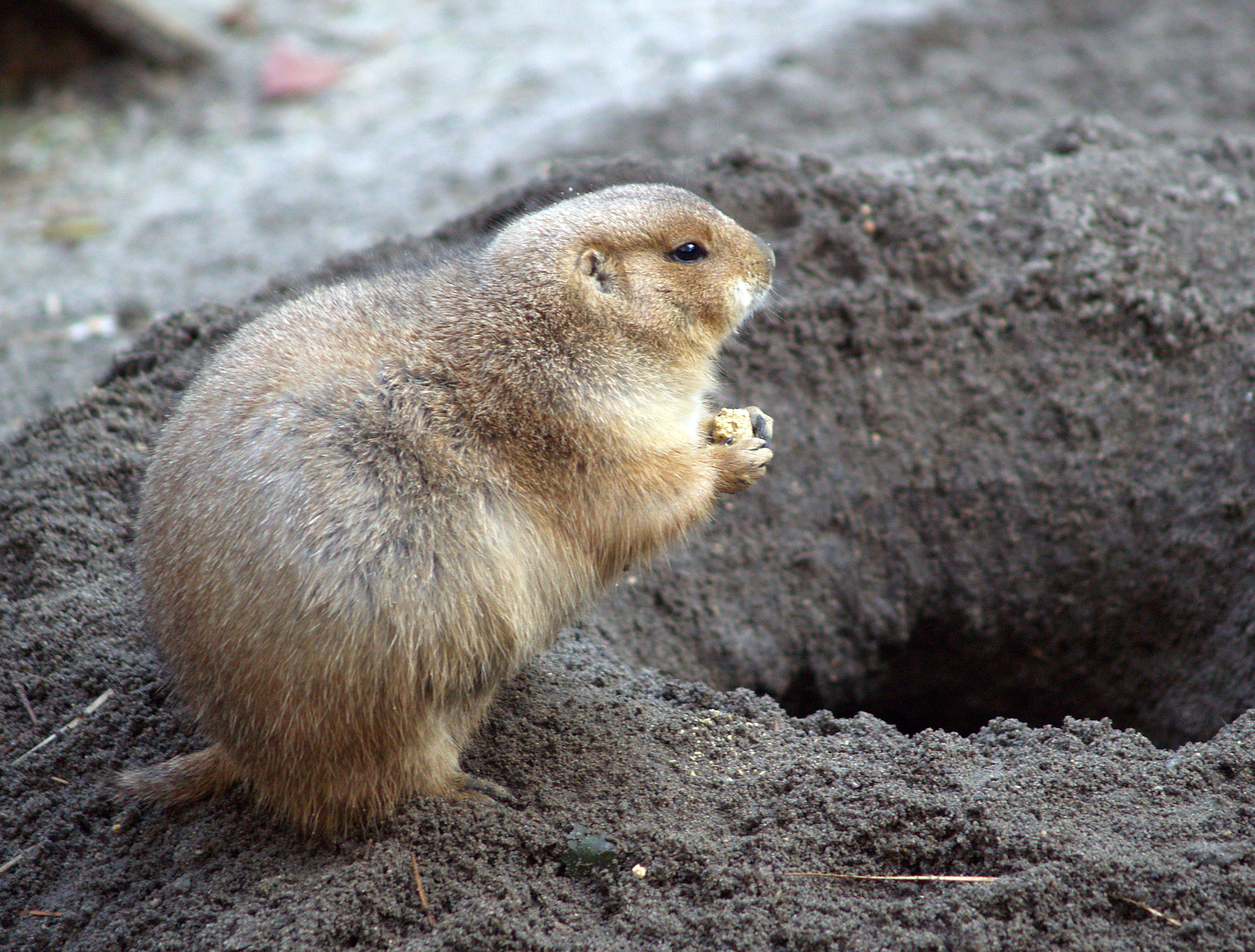 free stock photo of animals ground hog rodent