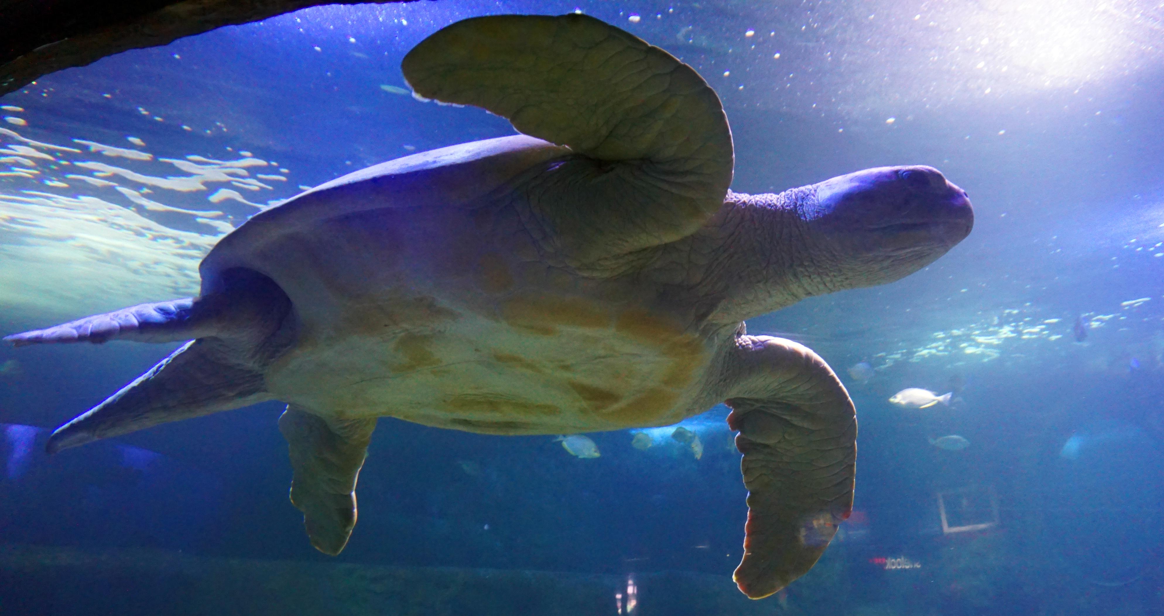 Sea Turtle Size Chart: Free stock photo of sea turtle,Chart