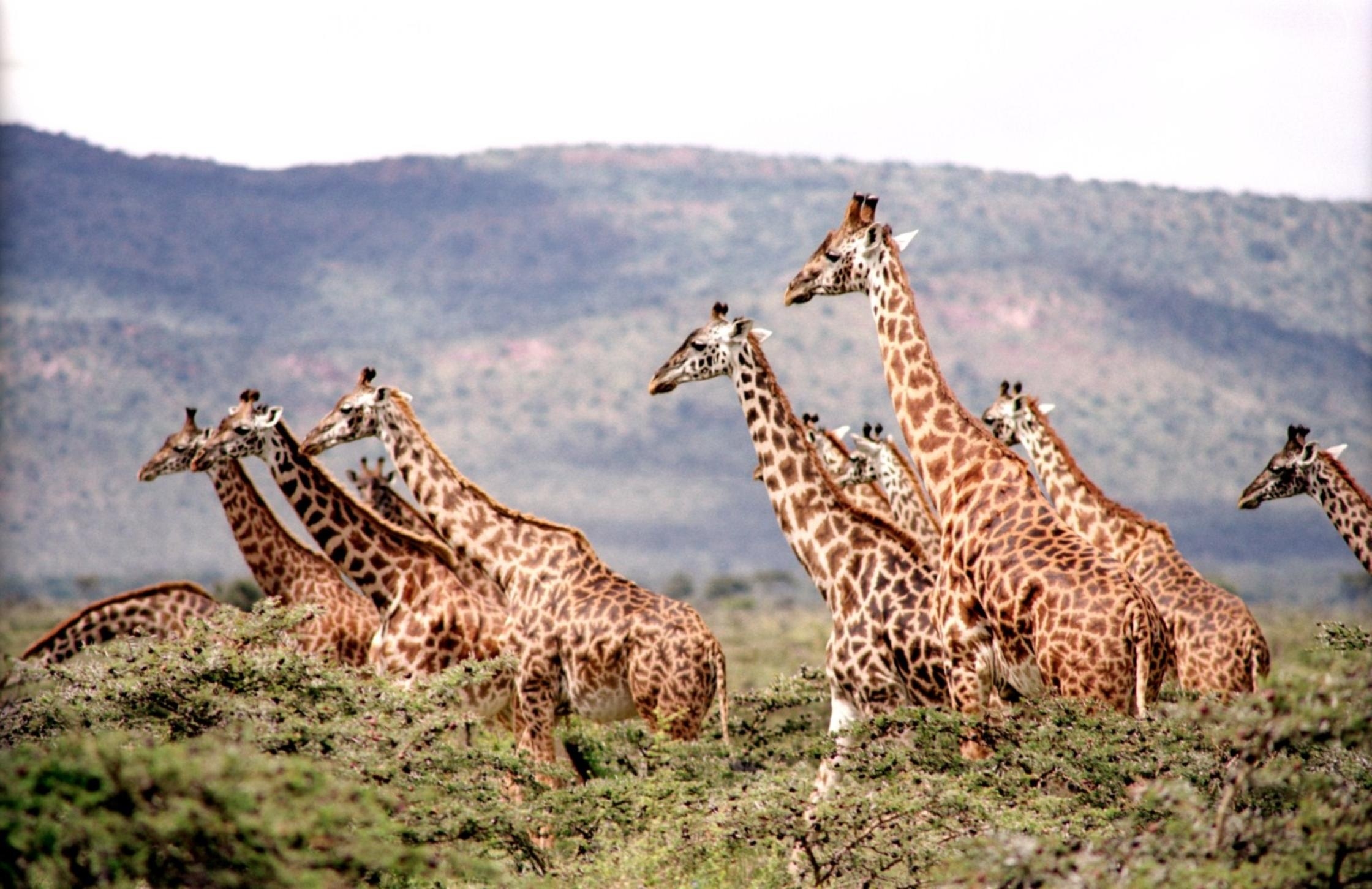 group of giraffe surrounded by the green trees free stock photo