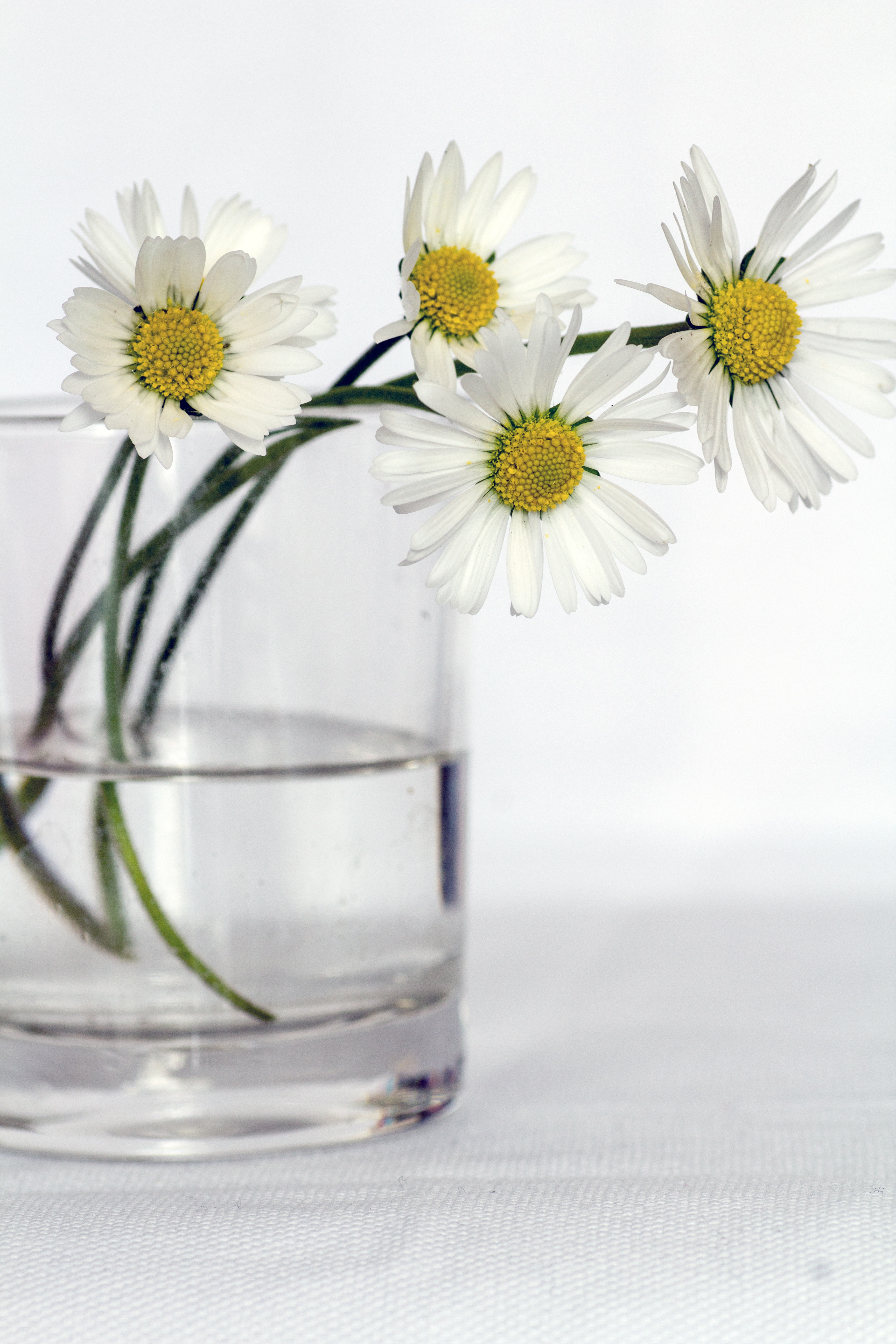 Free stock photo of daisies flowers still life
