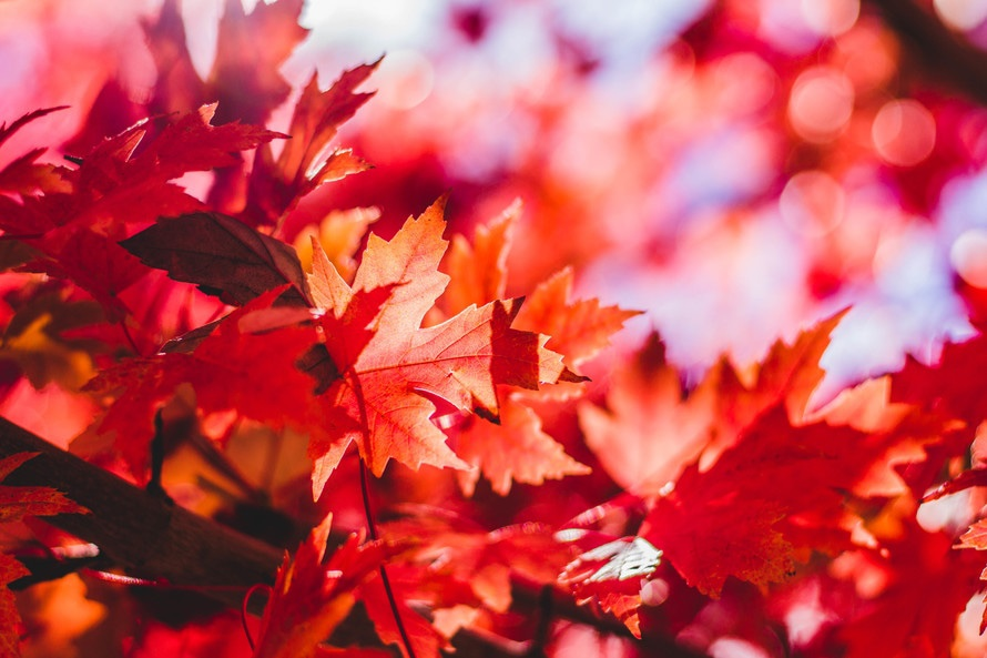 Photography of Maple Leaves