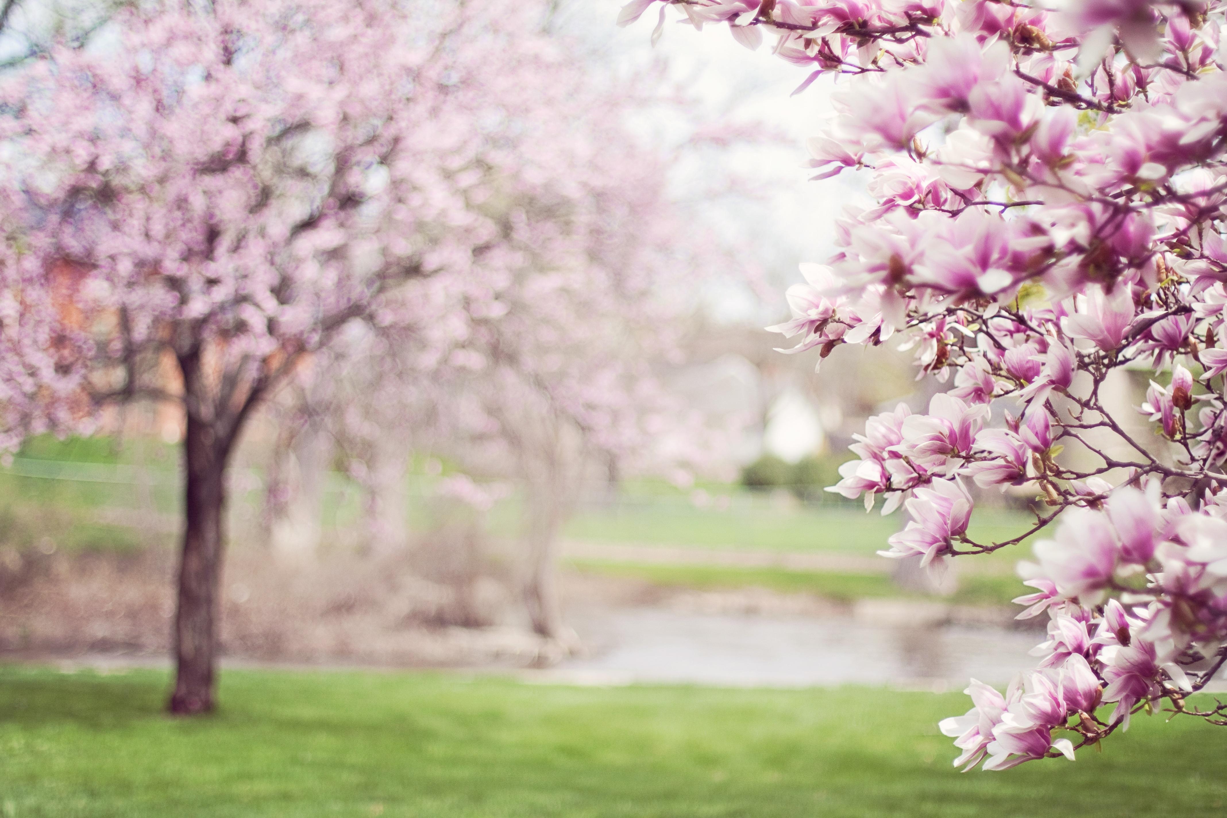 magnolia-trees-springtime-blossoms-spring-38910.jpeg (4272×2848)