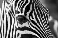 black-and-white, zebra crossing, animal