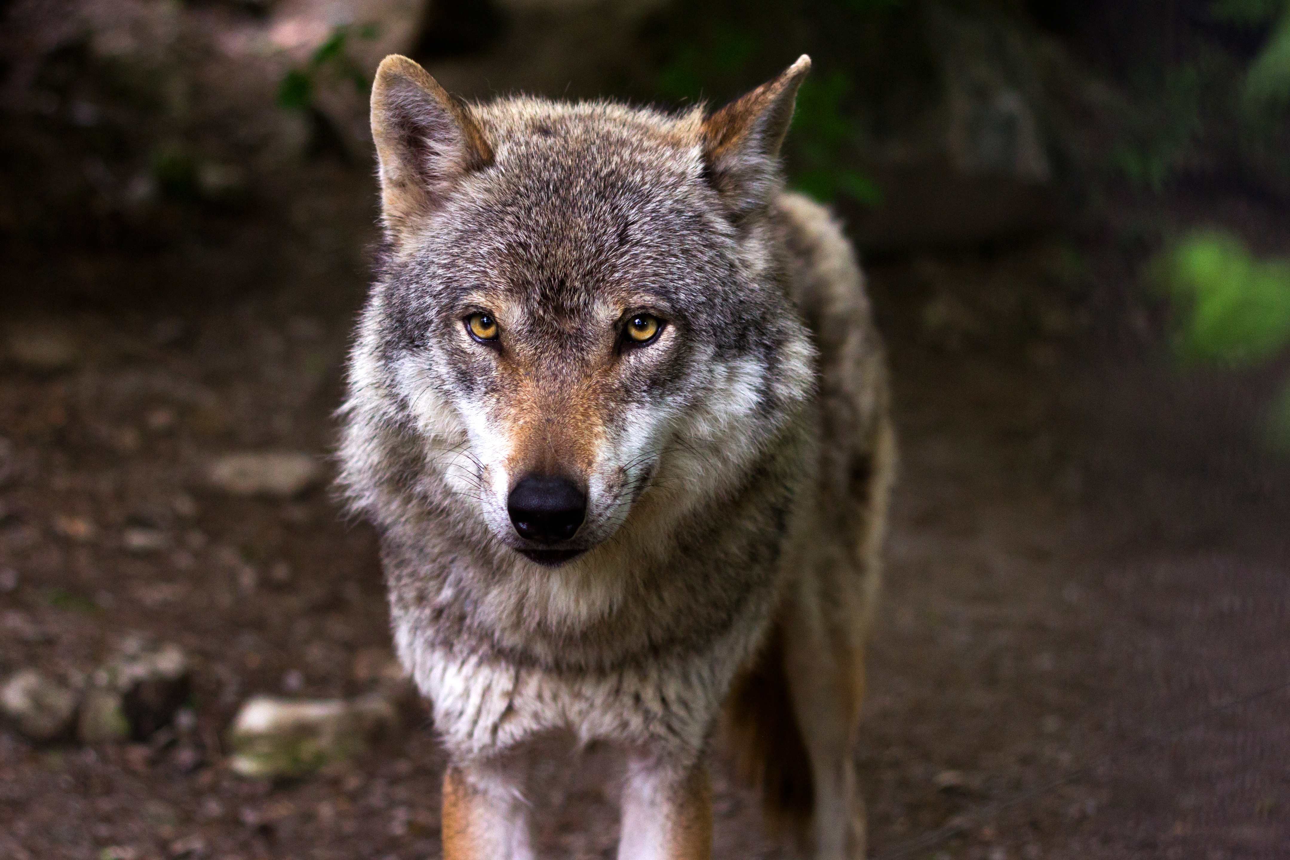 Free Stock Photo Of Animal Forest Predator