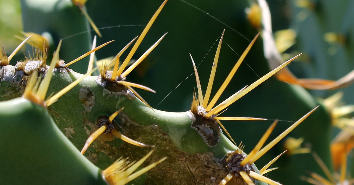 free stock photo of cacti  cactus thorn  cactuses
