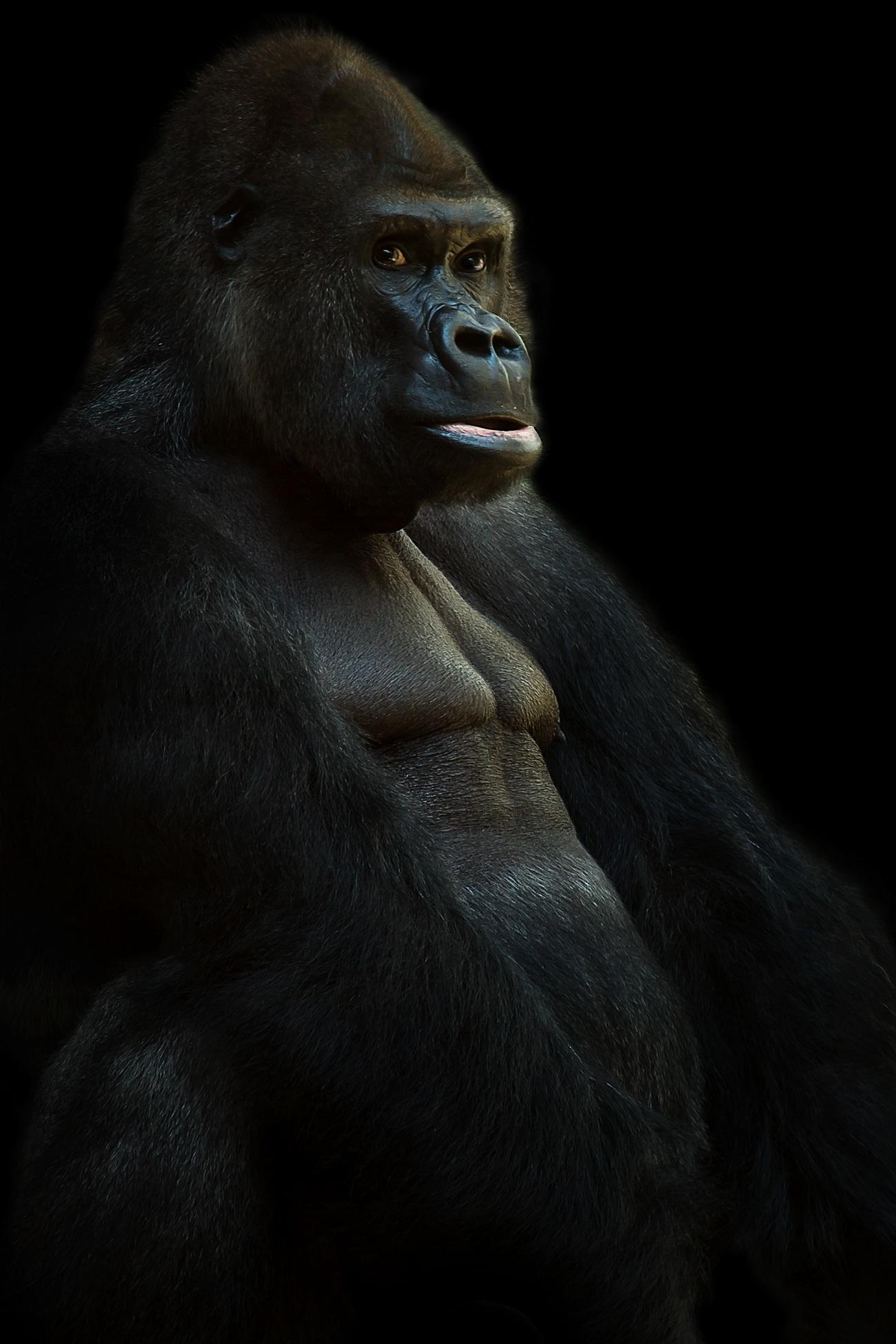 free stock photos of gorilla pexels