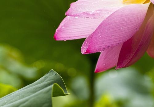 Pink Multi Petaled Flower Near Green Leaf