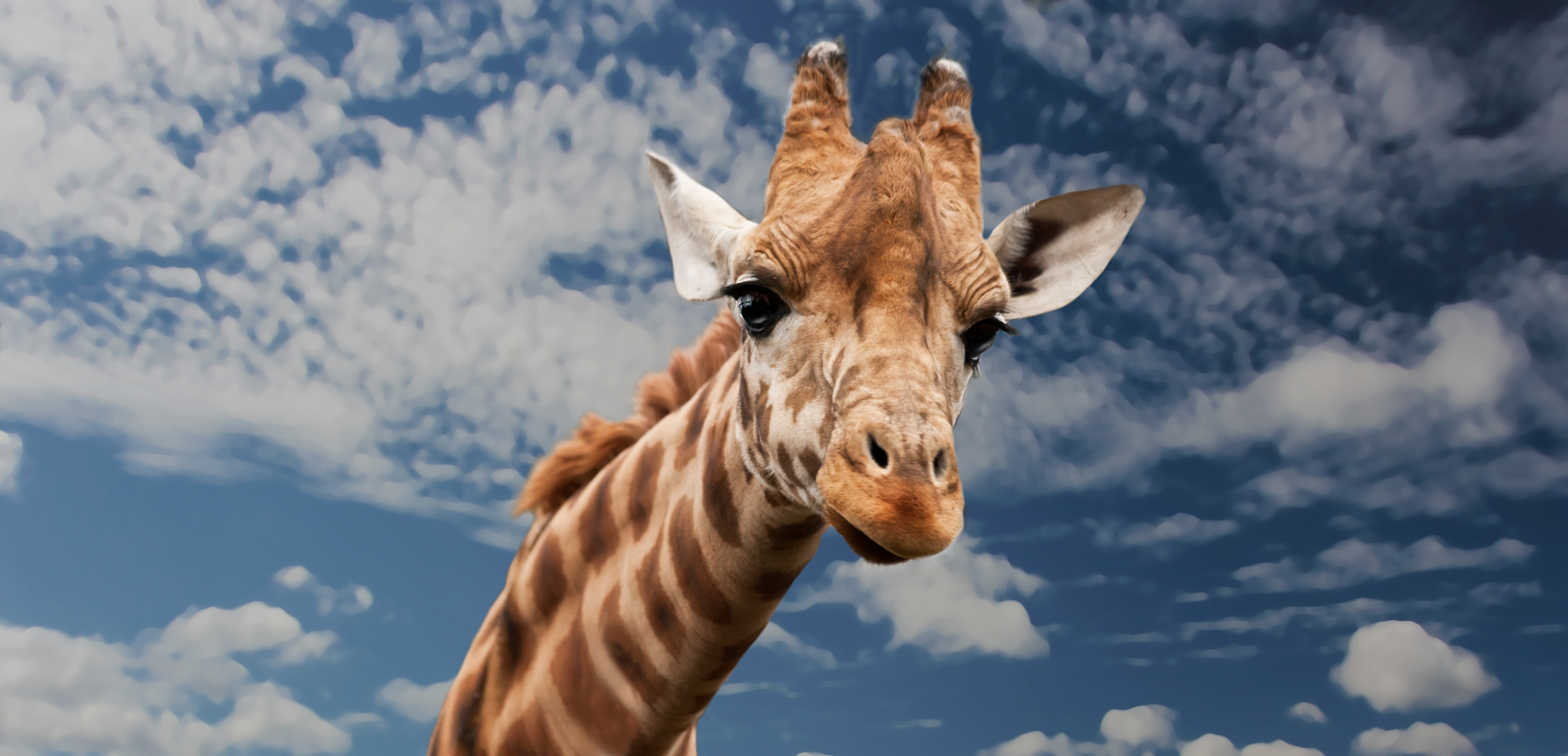 brown beige and white giraffe under white clouds free stock photo