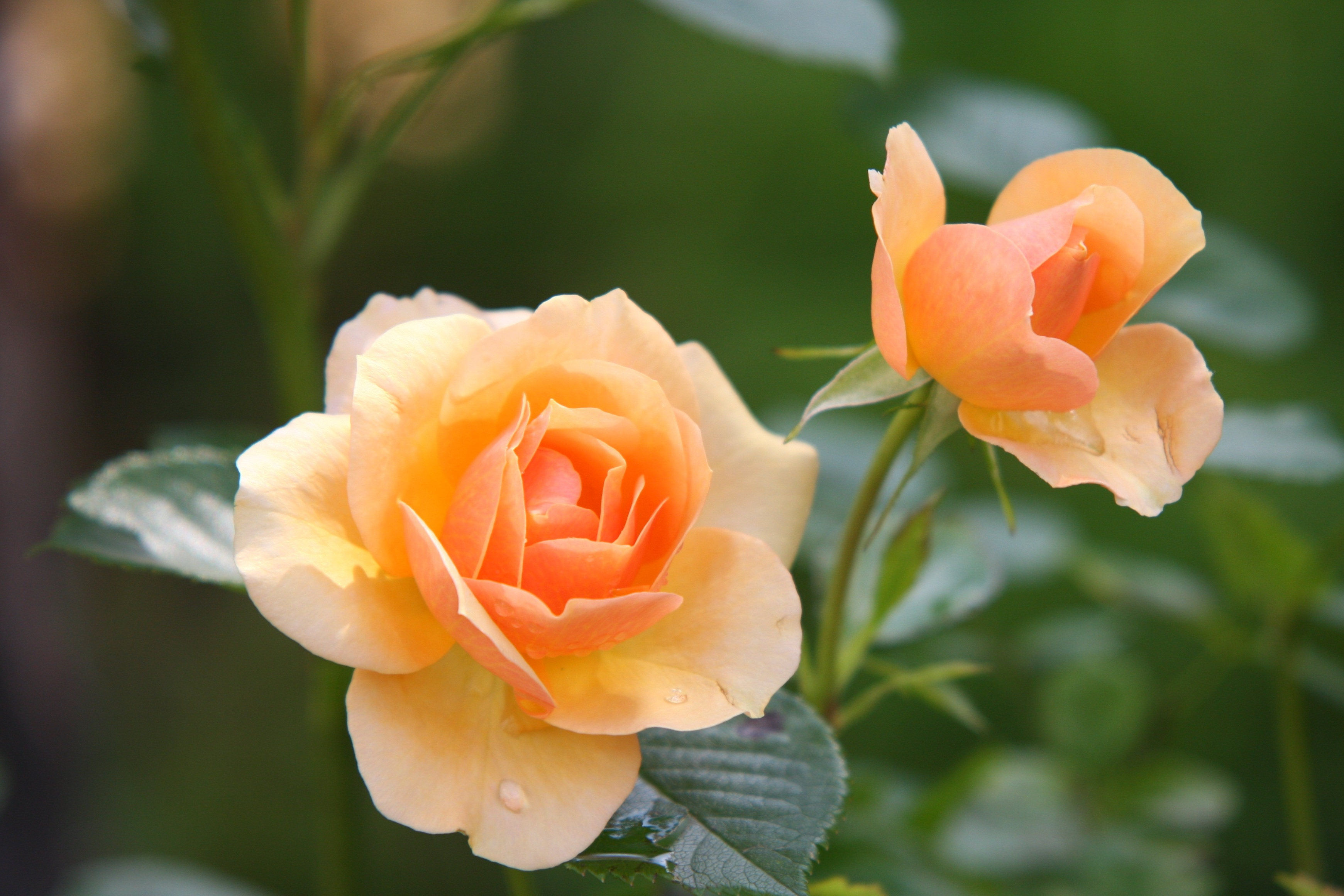 rose-flower-blossom-bloom-39517.jpeg (3482×2321)