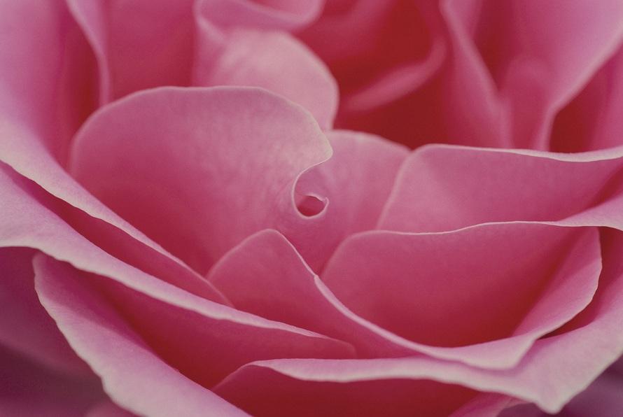 2018 Photos rose-pink-romance-lo