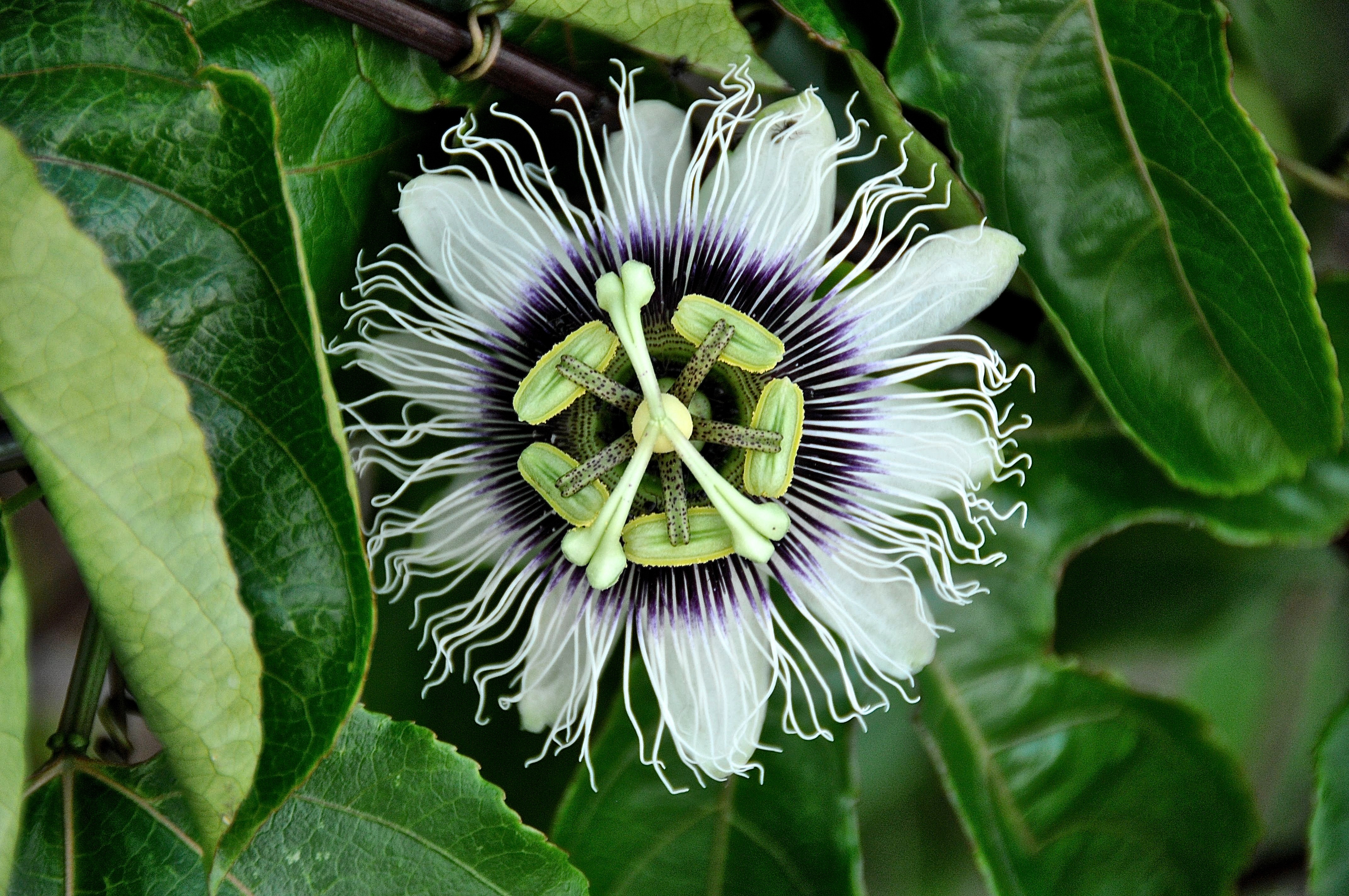 Free stock photos of passion flower pexels close up photo of white and black flower at daytime dhlflorist Images
