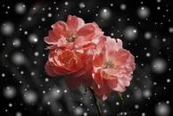 snow, flowers, winter