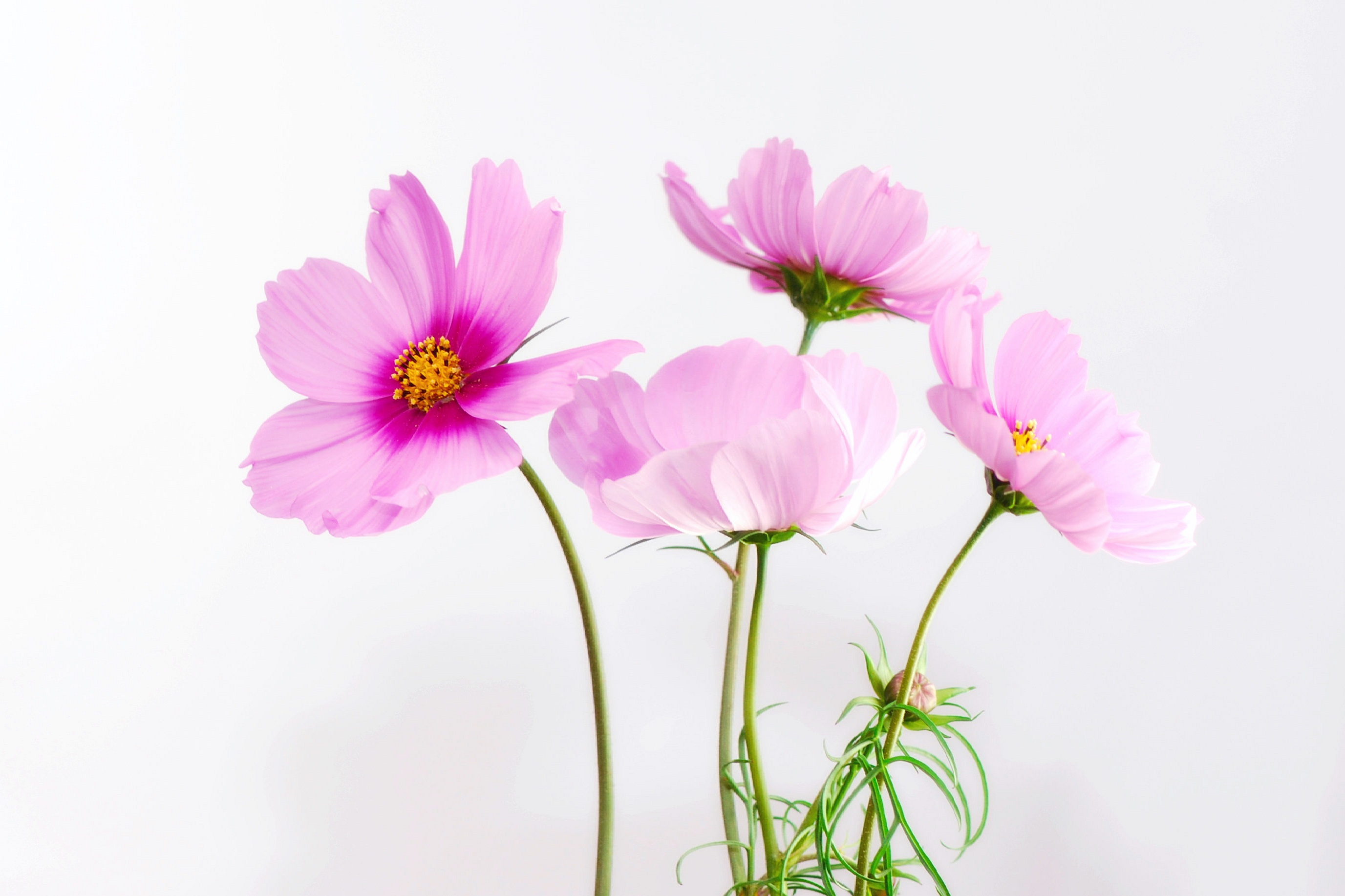 cosmea-flower-blossom-bloom-40722.jpeg (2753×1834)