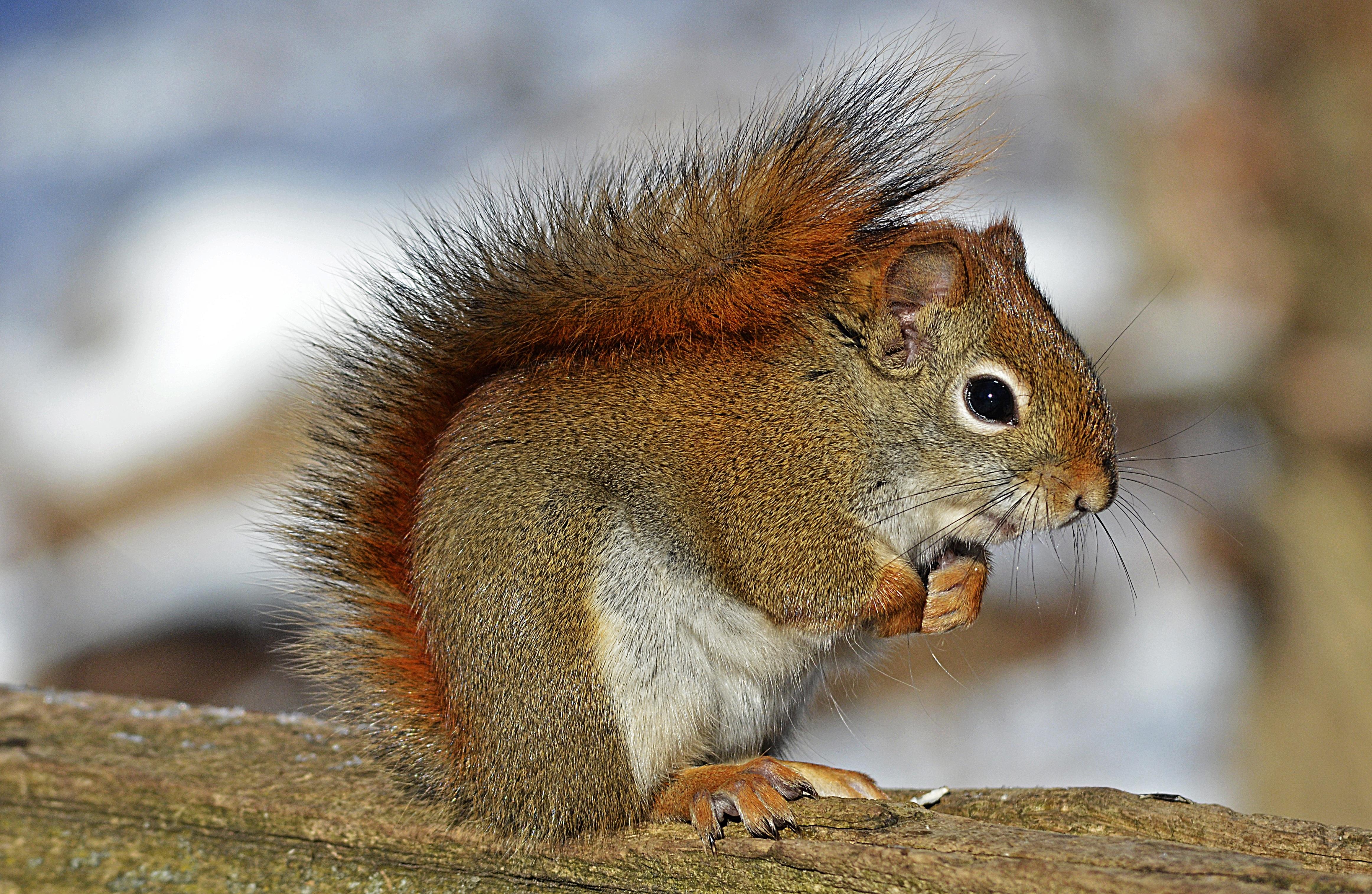Red Squirrel - Tamiasciurus hudsonicus - NatureWorks