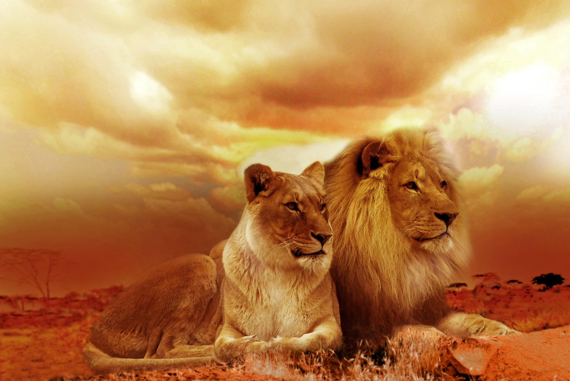 free stock photos of lion pexels