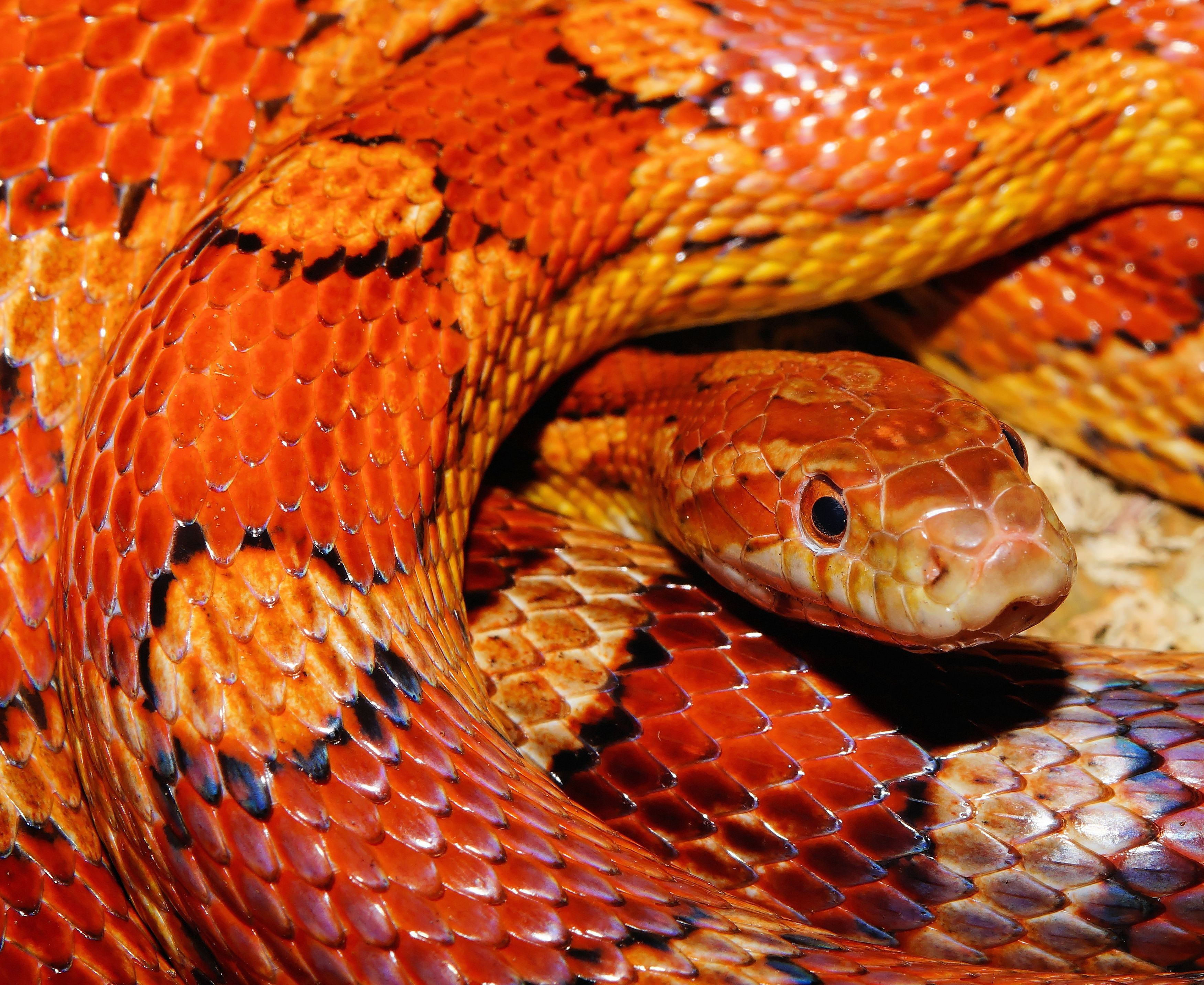 87 best Snakes images on Pinterest | Amphibians, Reptiles and Animals