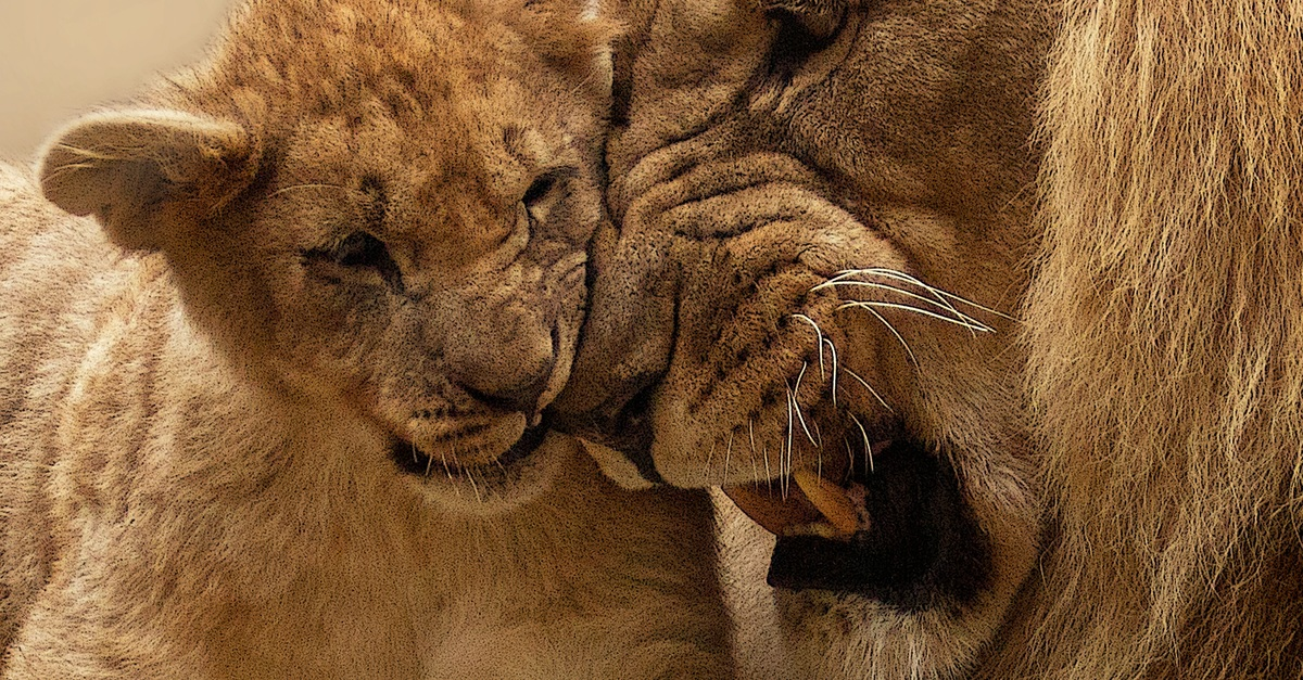 Adult Lion Playing With Lion Cub 183 Free Stock Photo