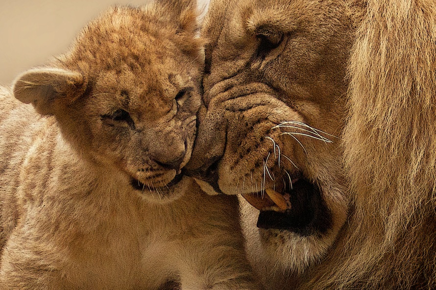 Adult Lion Playing With Lion Cub · Free Stock Photo