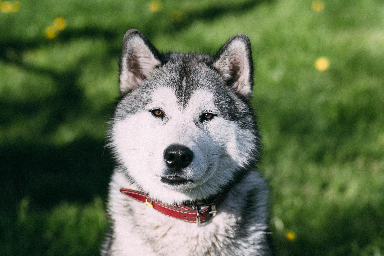 Free Stock Photo Of Animal Canine Close Up