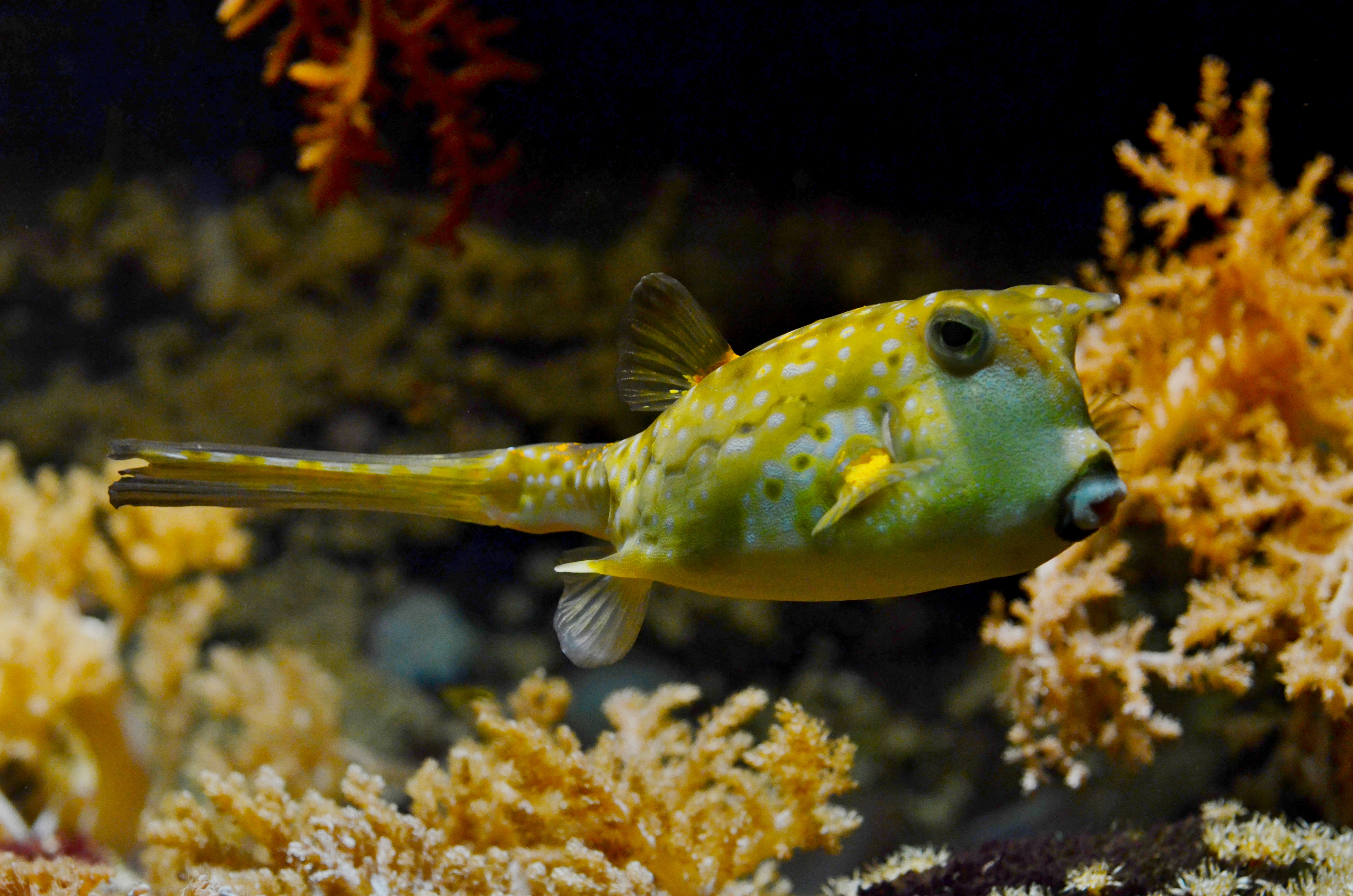 Free Stock Photo Of Balloonfish Corals Fish