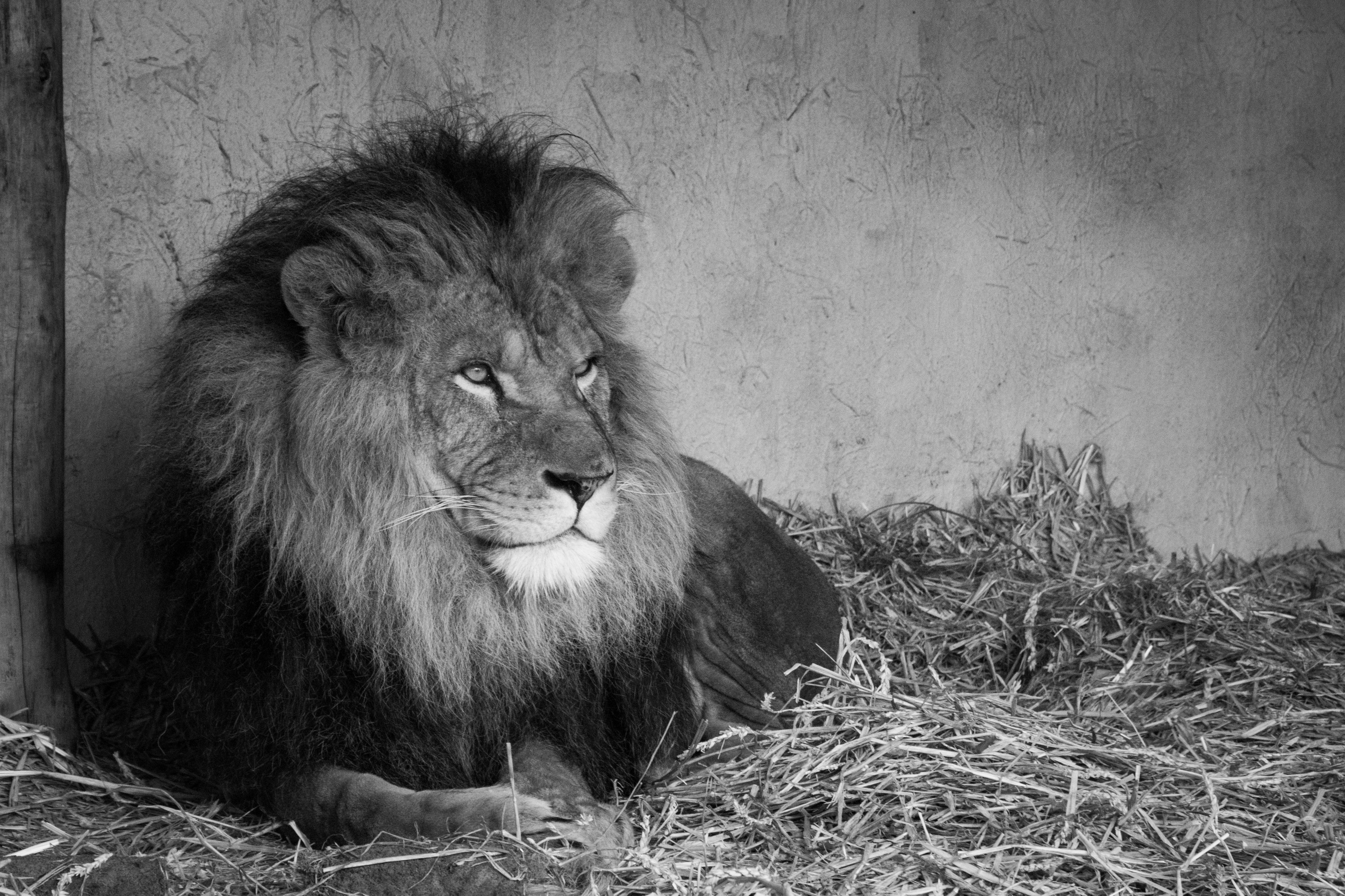 free stock photo of animal black and white boss
