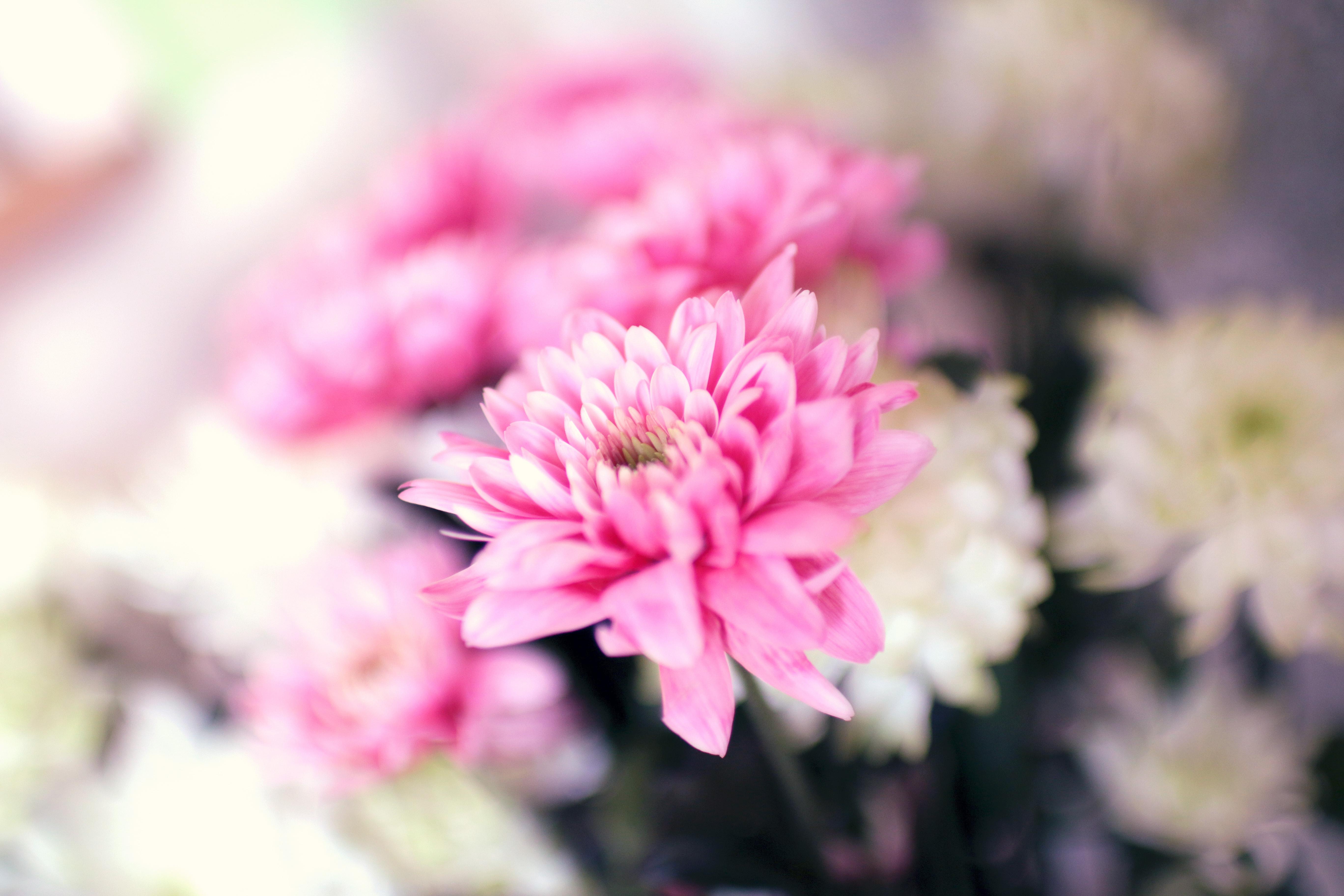 Free stock photo of botany flower pink