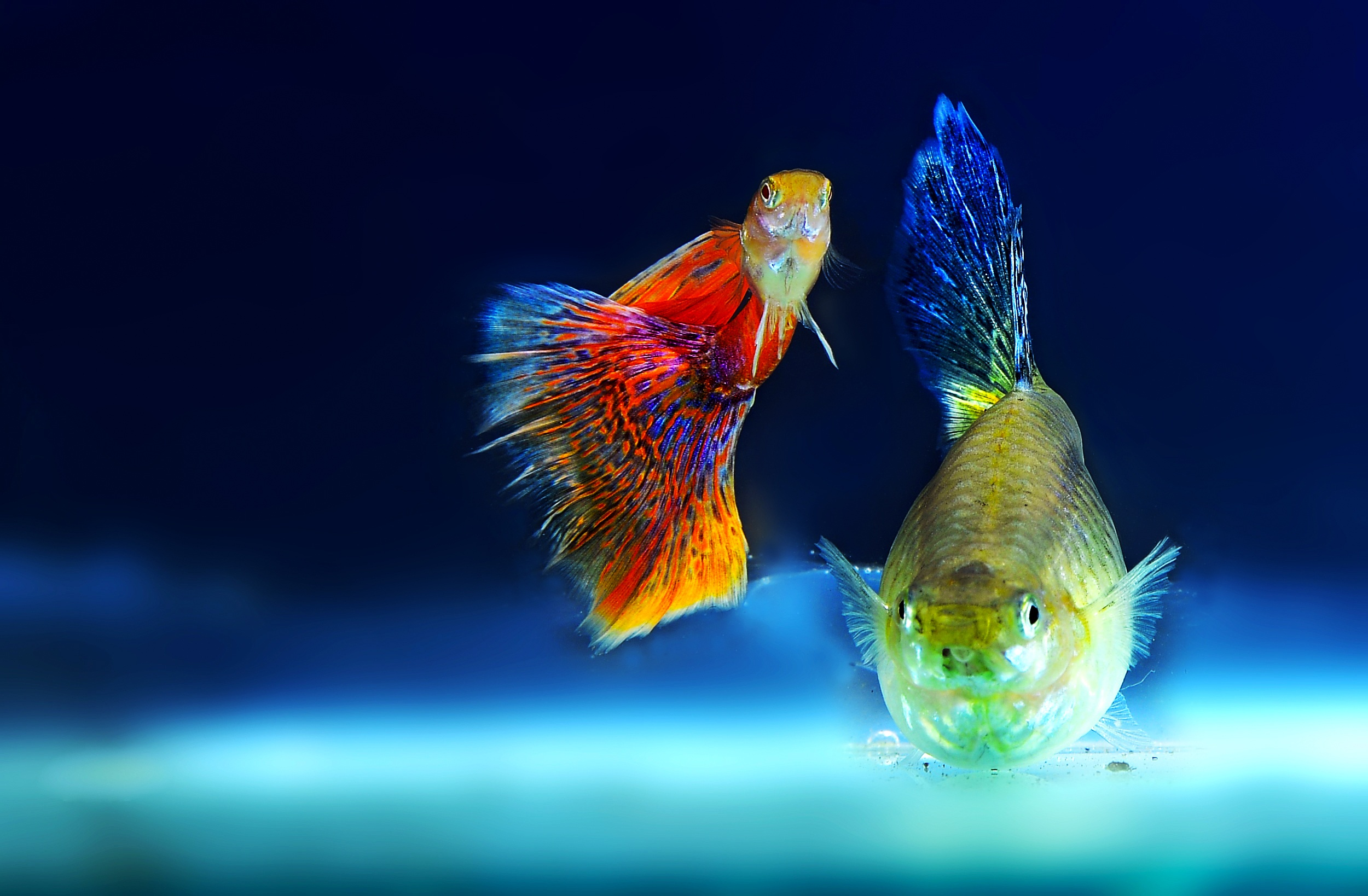 Free stock photo of aquarium fish ornamental fish for Ornamental fish tank