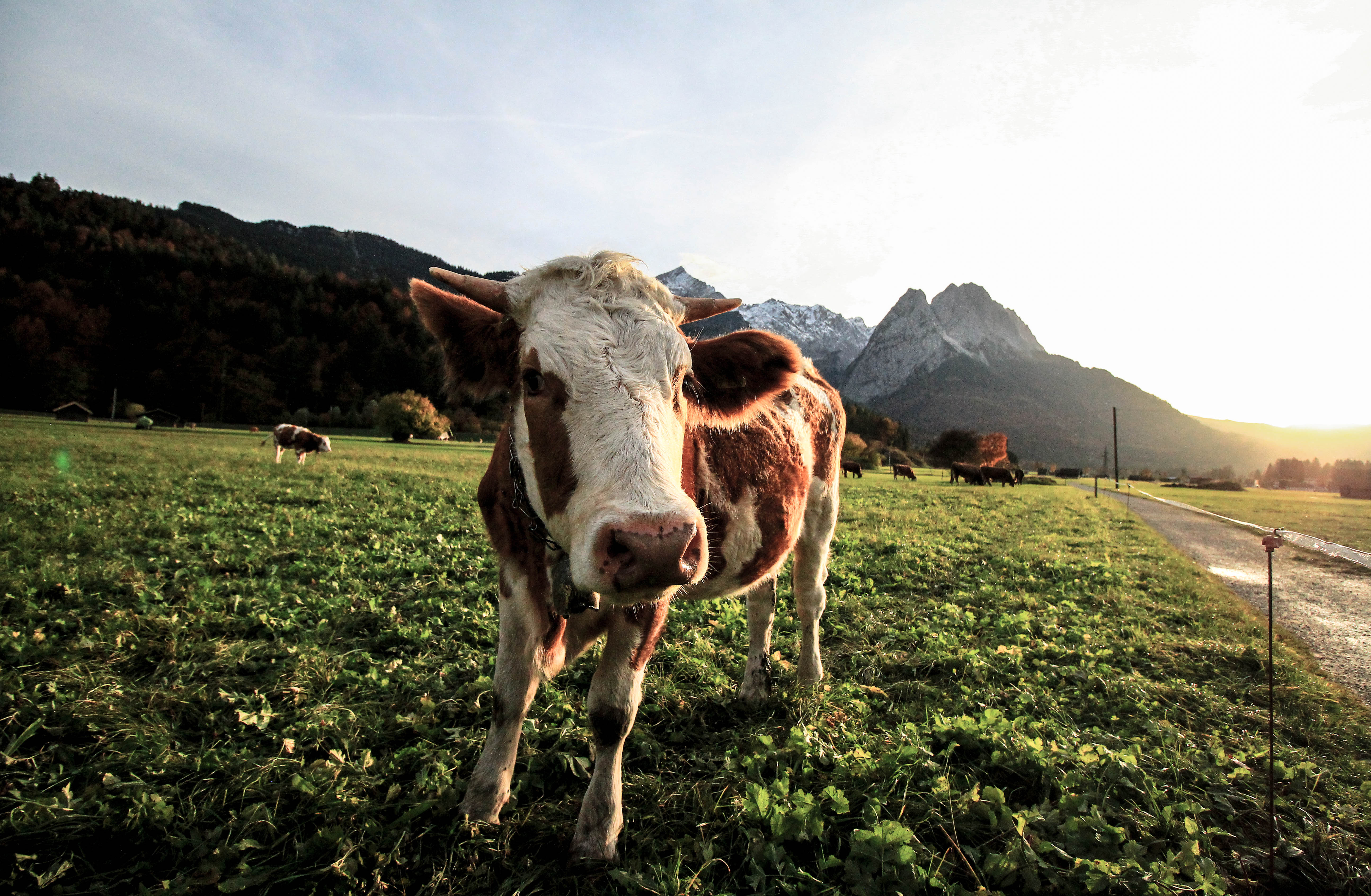 free stock photos of cows pexels