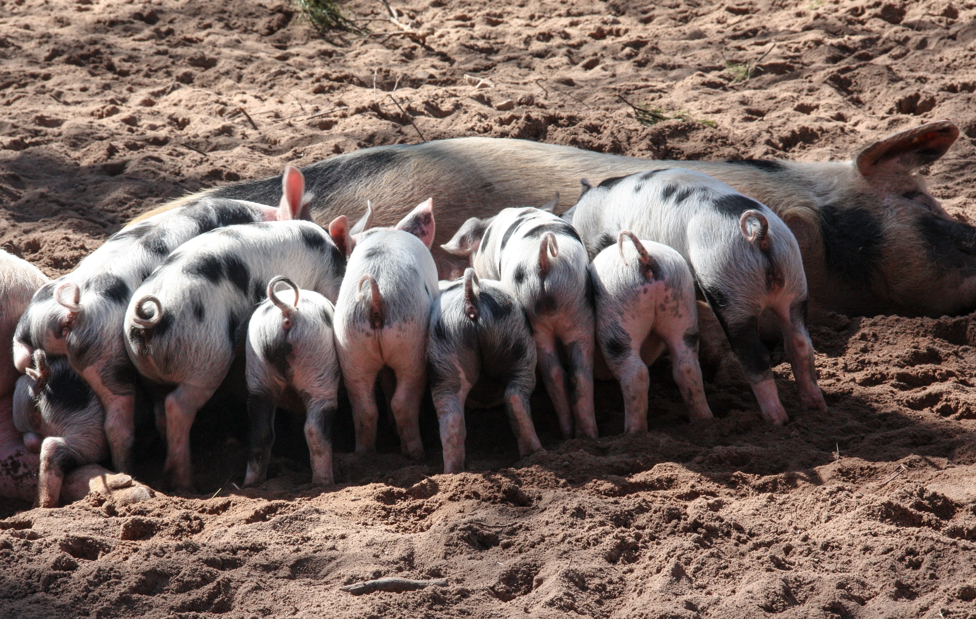 free stock photos of pigs pexels