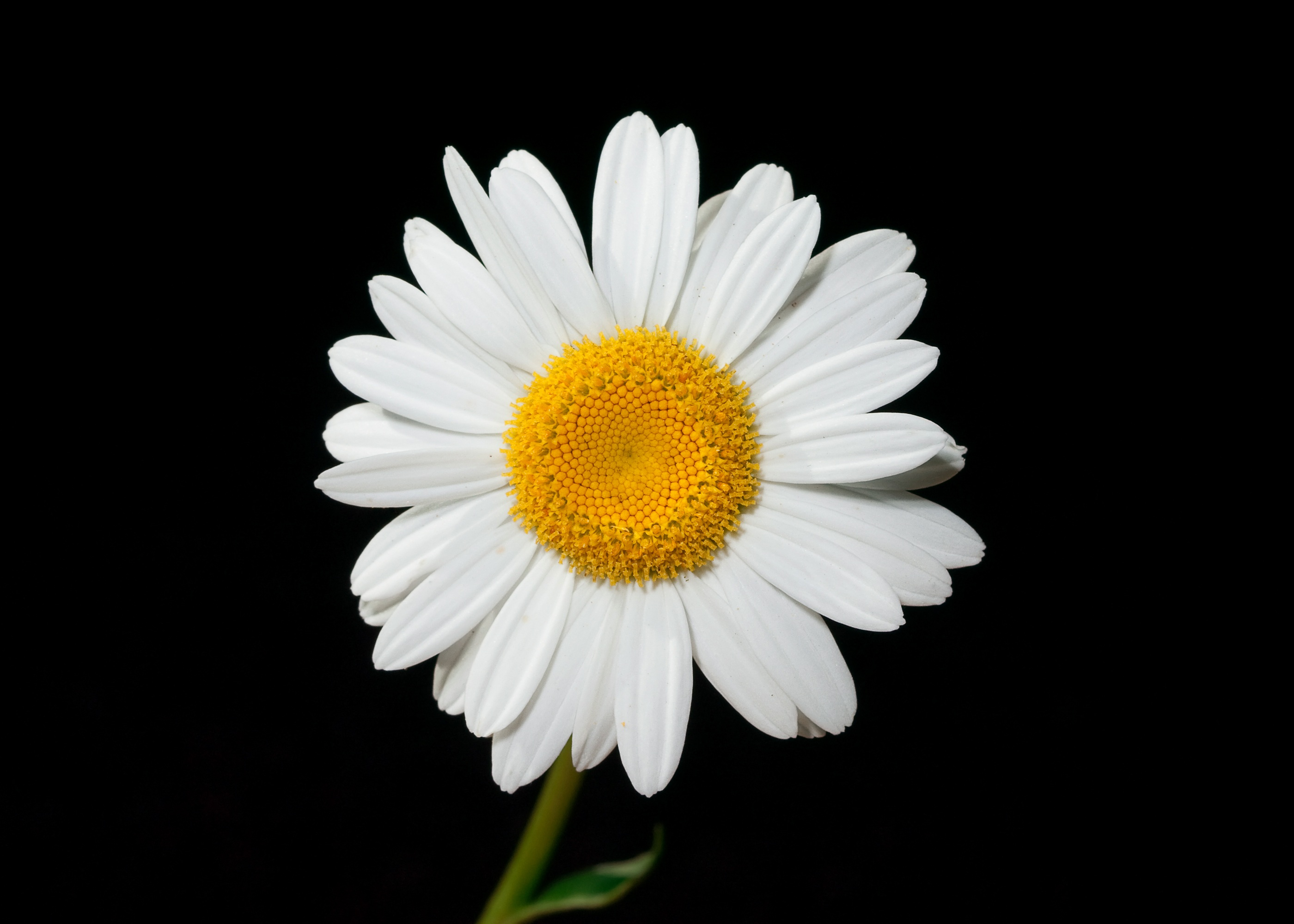 free stock photos of daisy · pexels, Natural flower