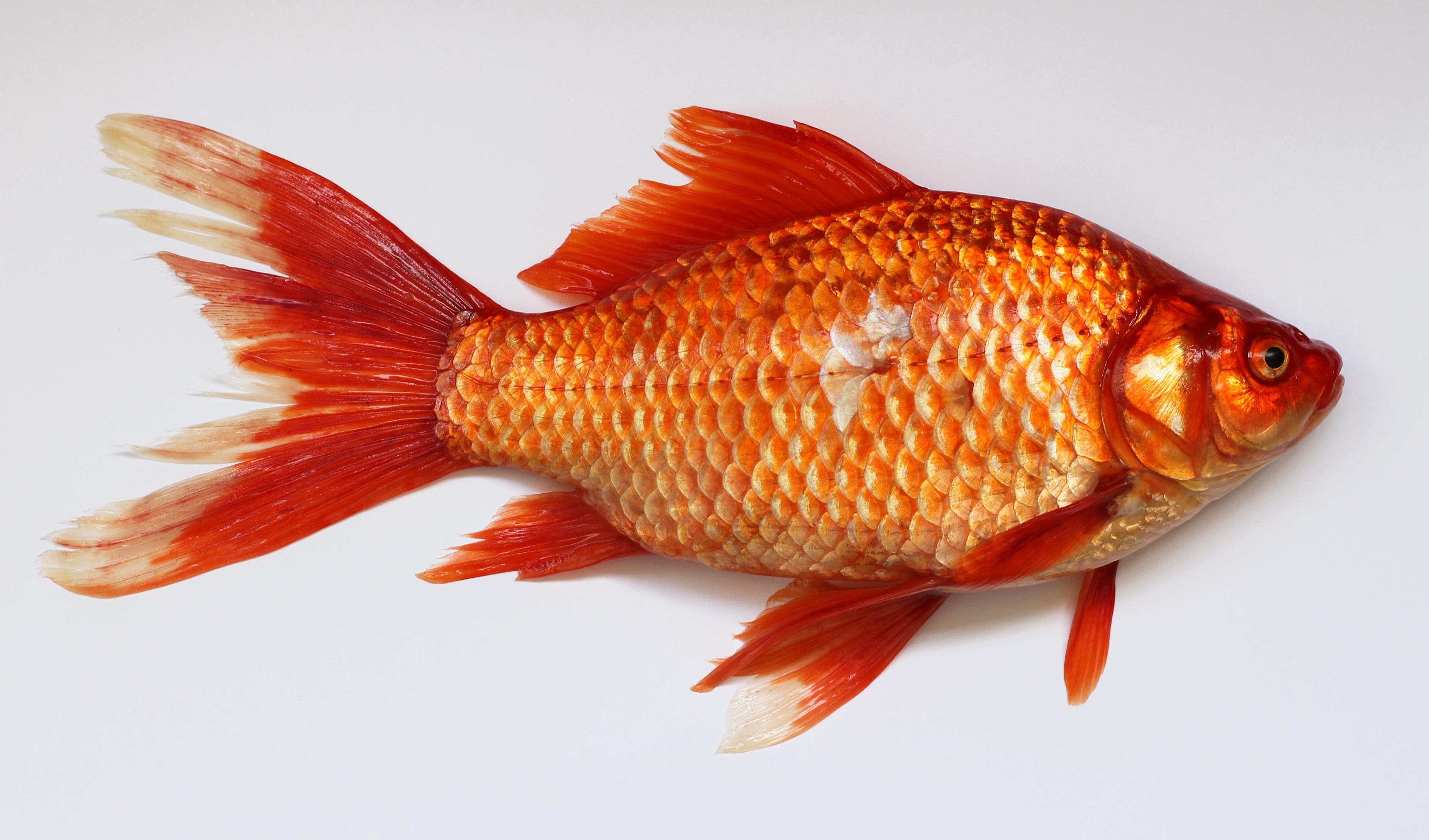 red fish free stock photo