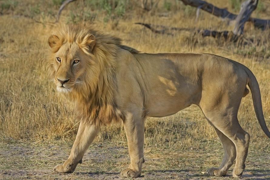 africa, animal, botswana