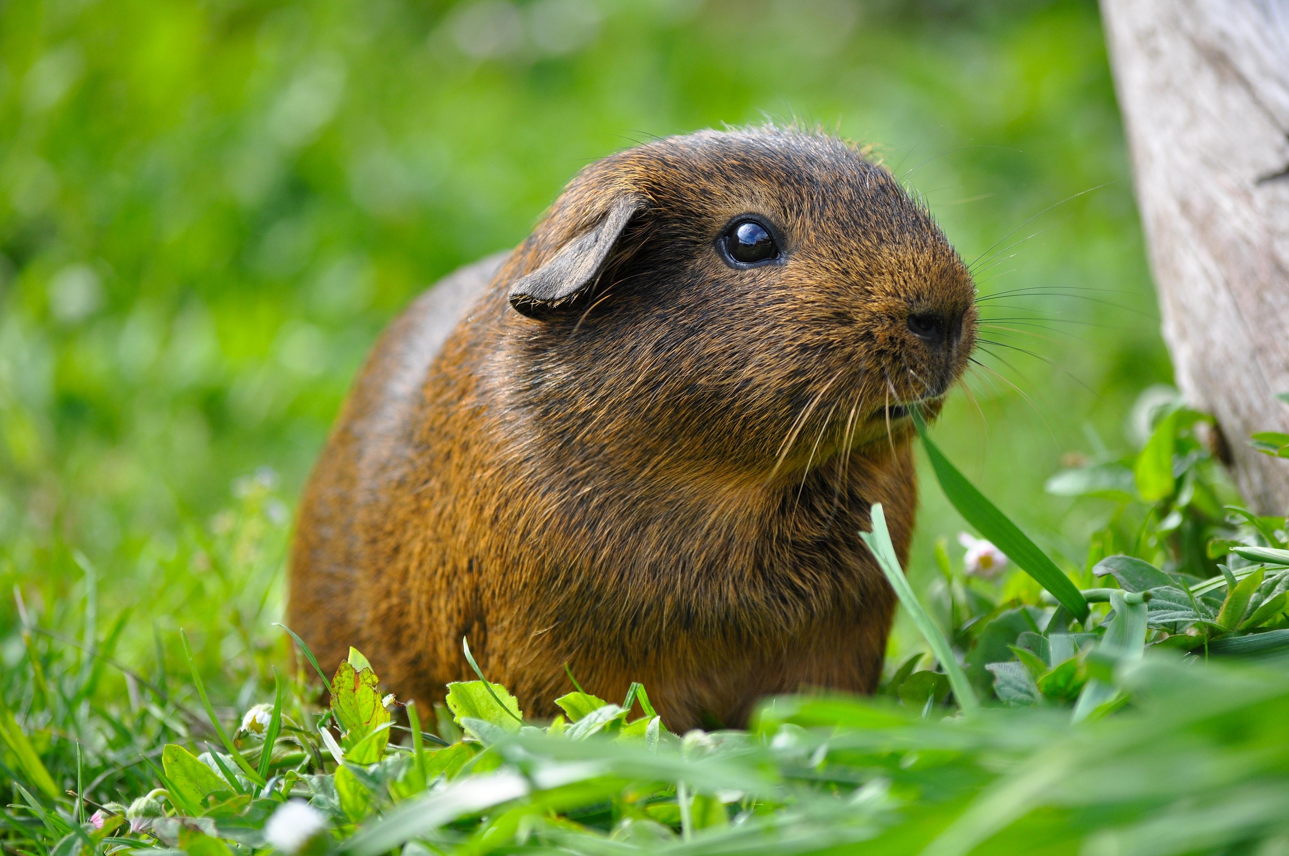 free stock photo of animal grass guinea pig
