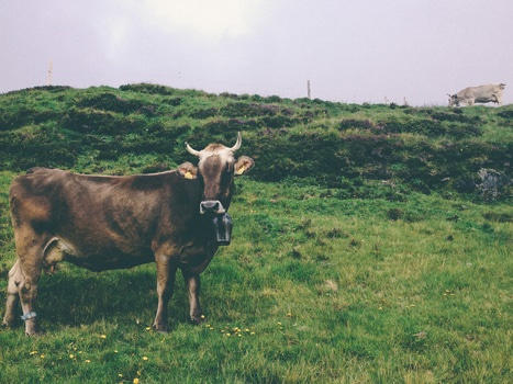 Black and White Cow With Bell on Green Grass Field