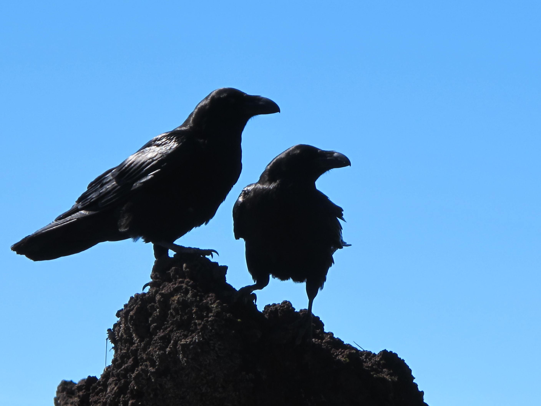free stock photo of birds black crows