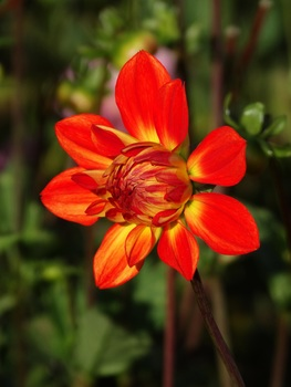 Free stock photo of red, yellow, petals, orange
