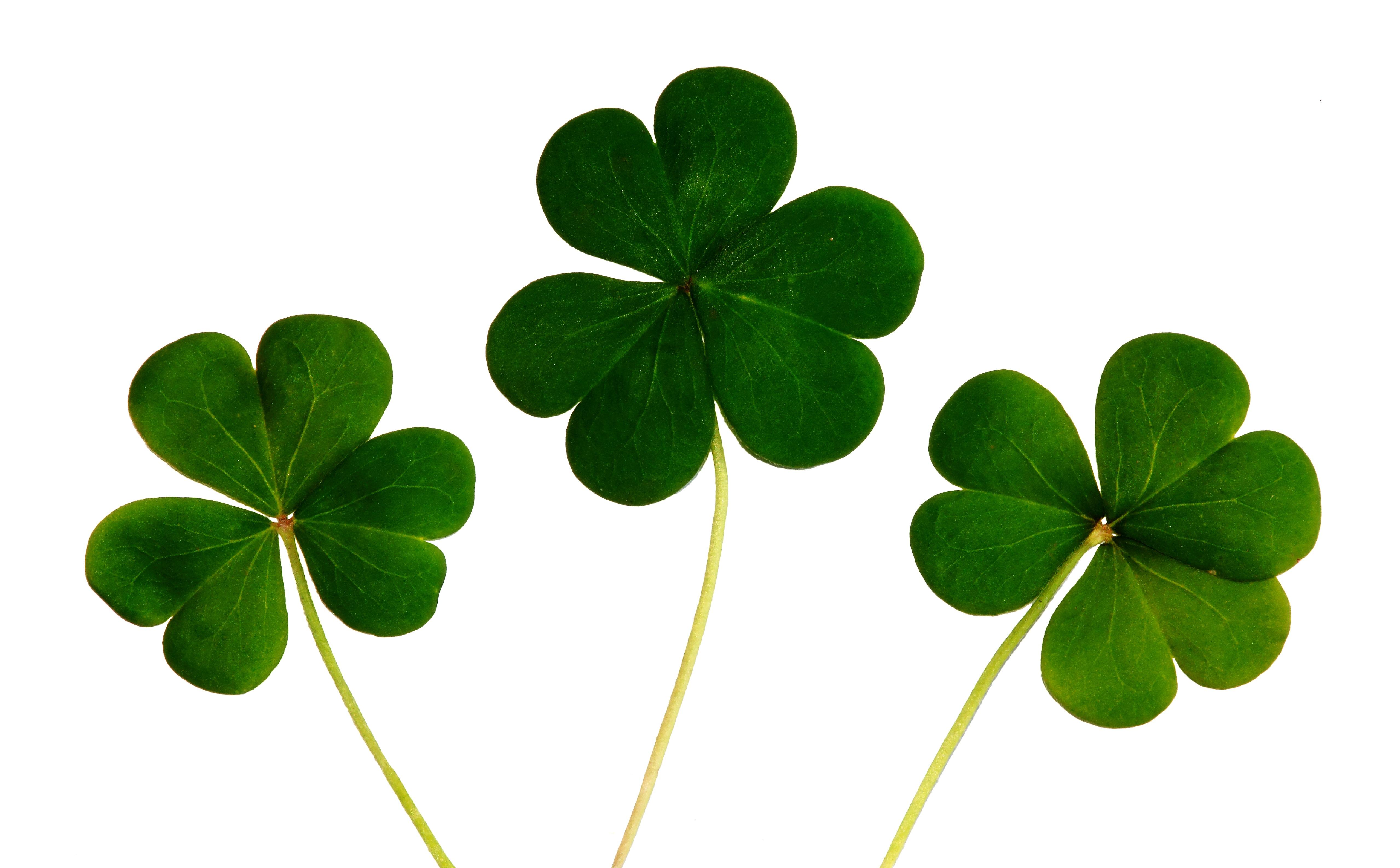 three 3 leaf clover free stock photo