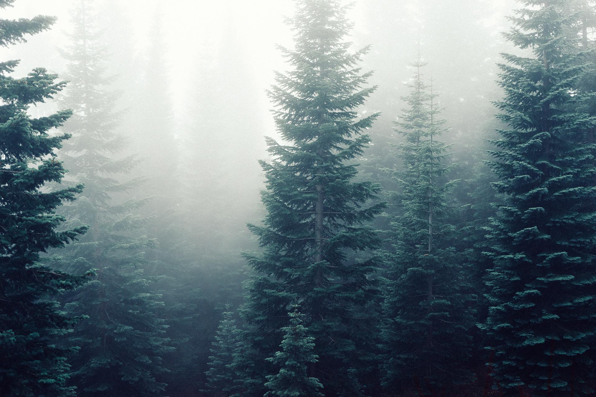 free stock photo of firs fog foggy