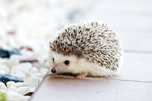 Free stock photo of animal, cute, spikes, hedgehog